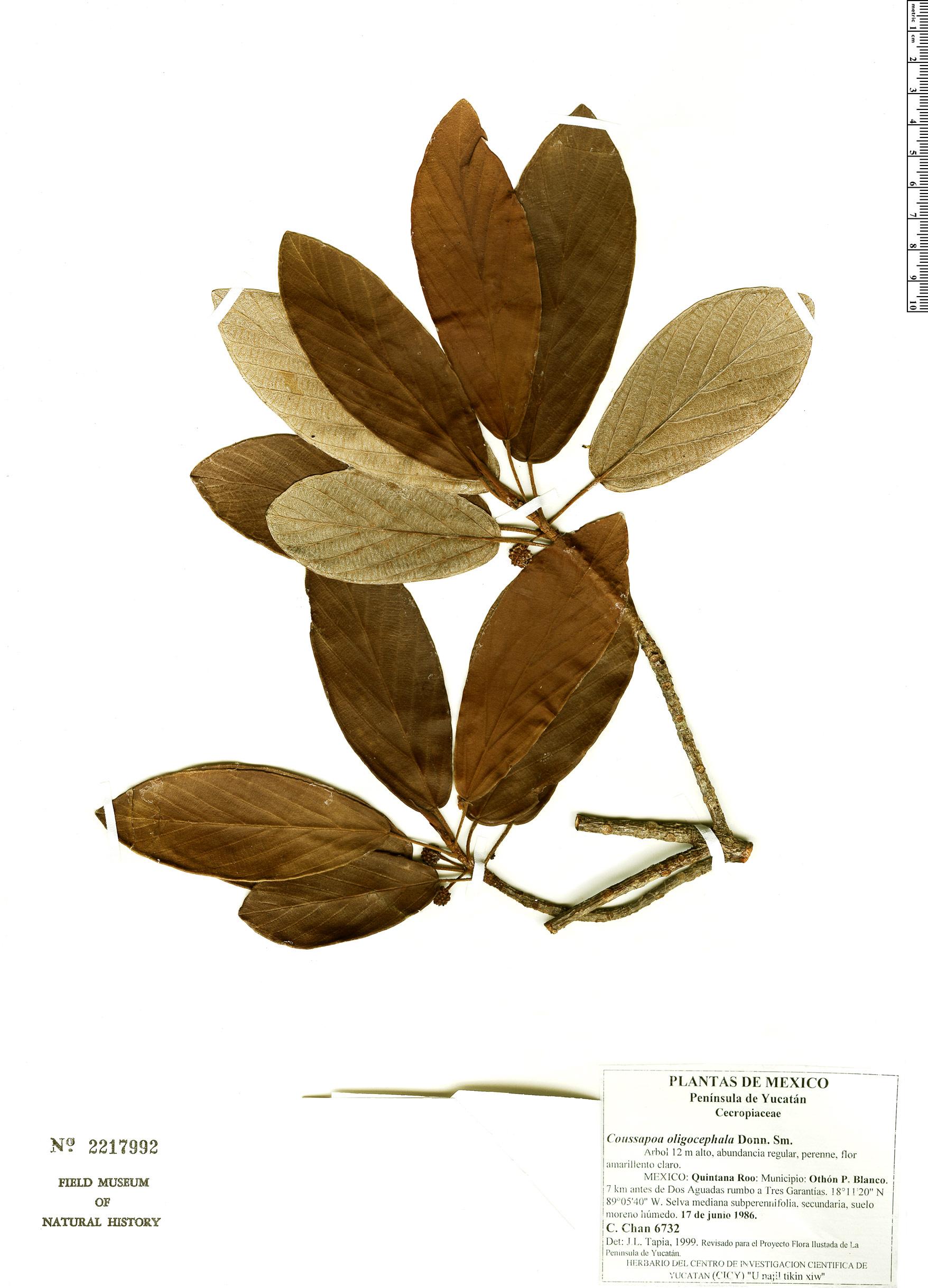Espécime: Coussapoa oligocephala