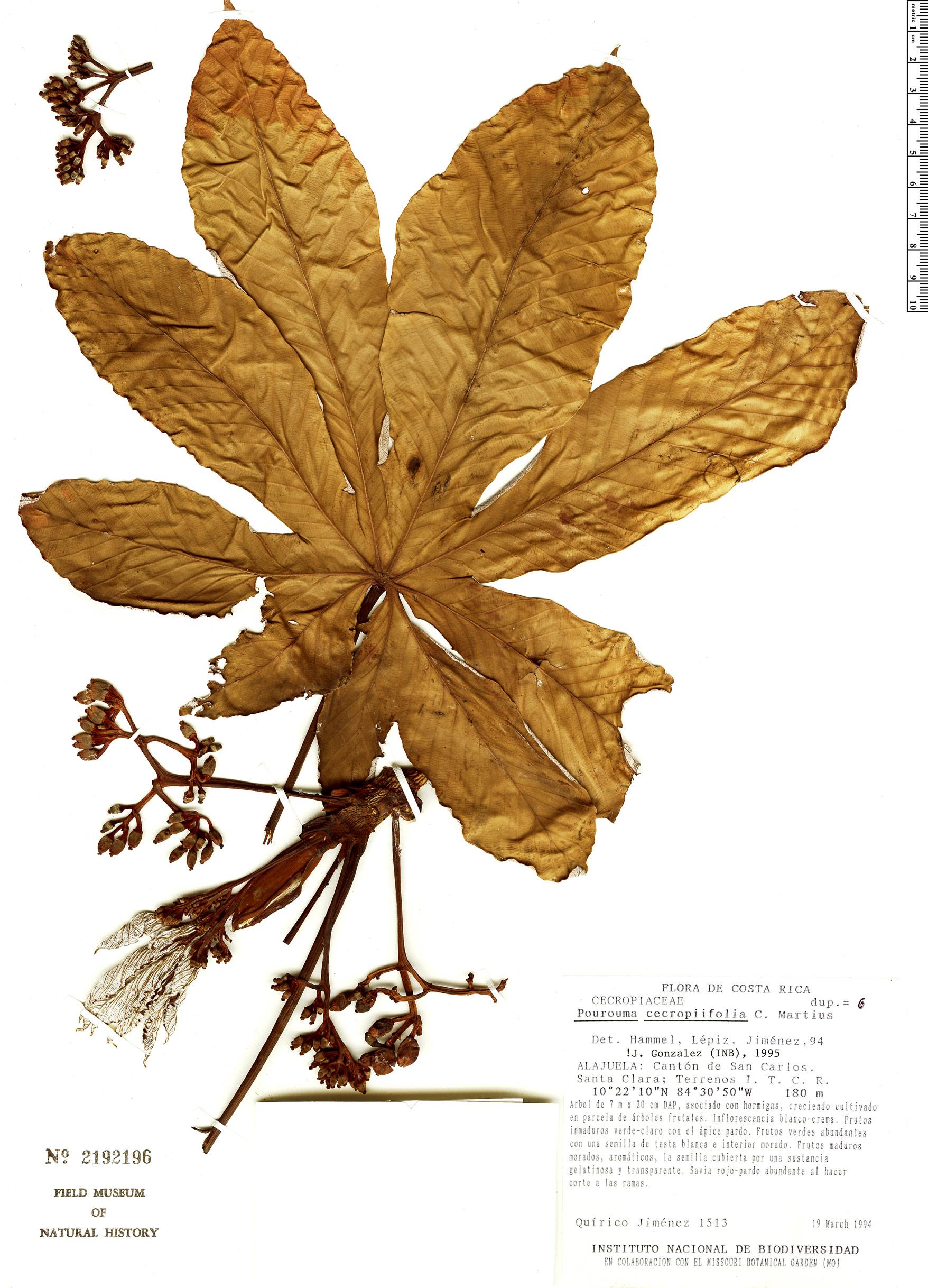 Specimen: Pourouma cecropiifolia
