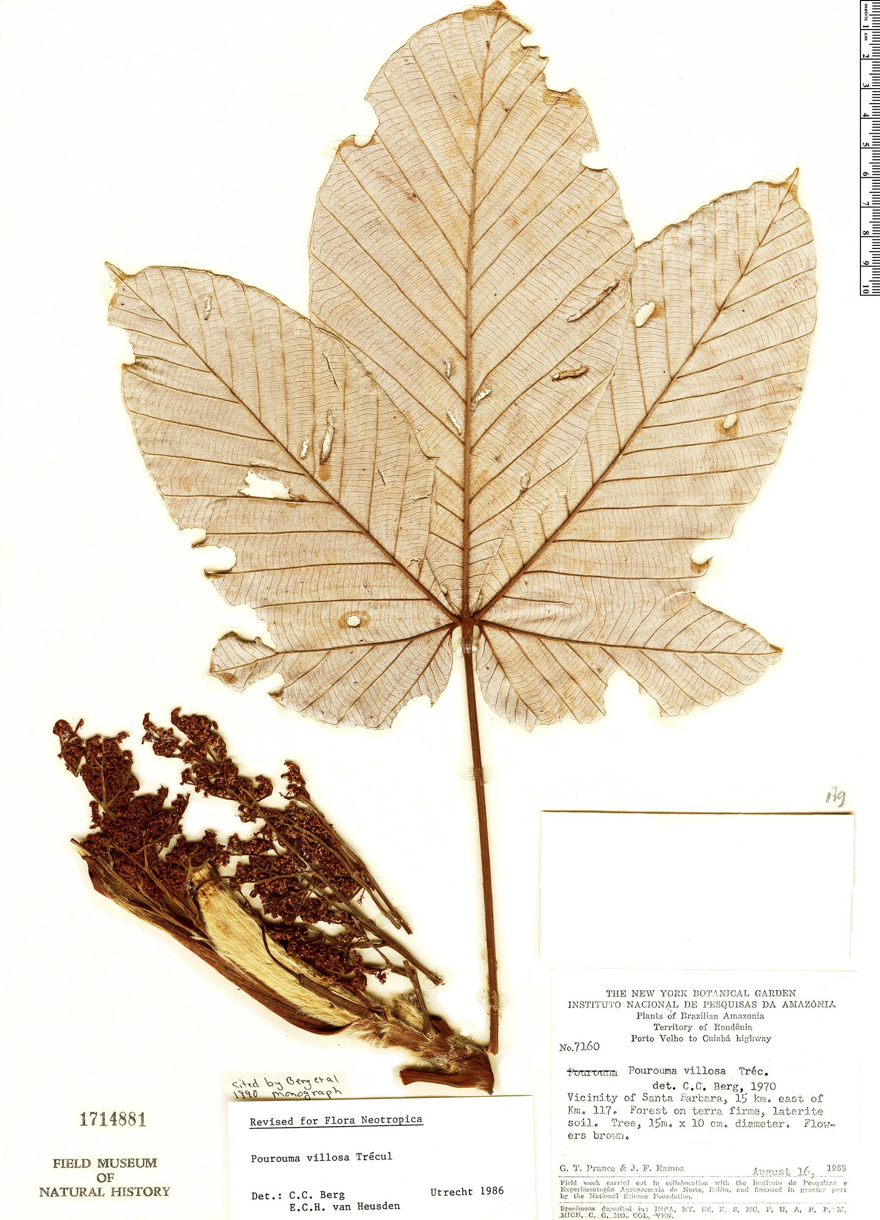 Specimen: Pourouma villosa