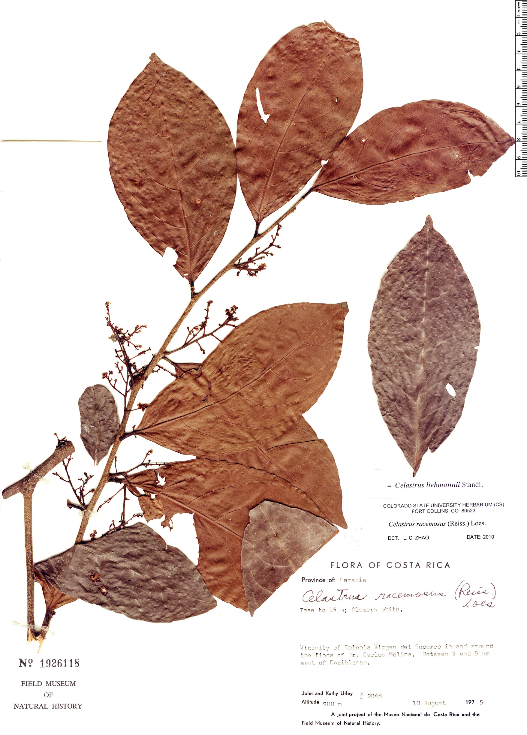 Specimen: Celastrus liebmannii