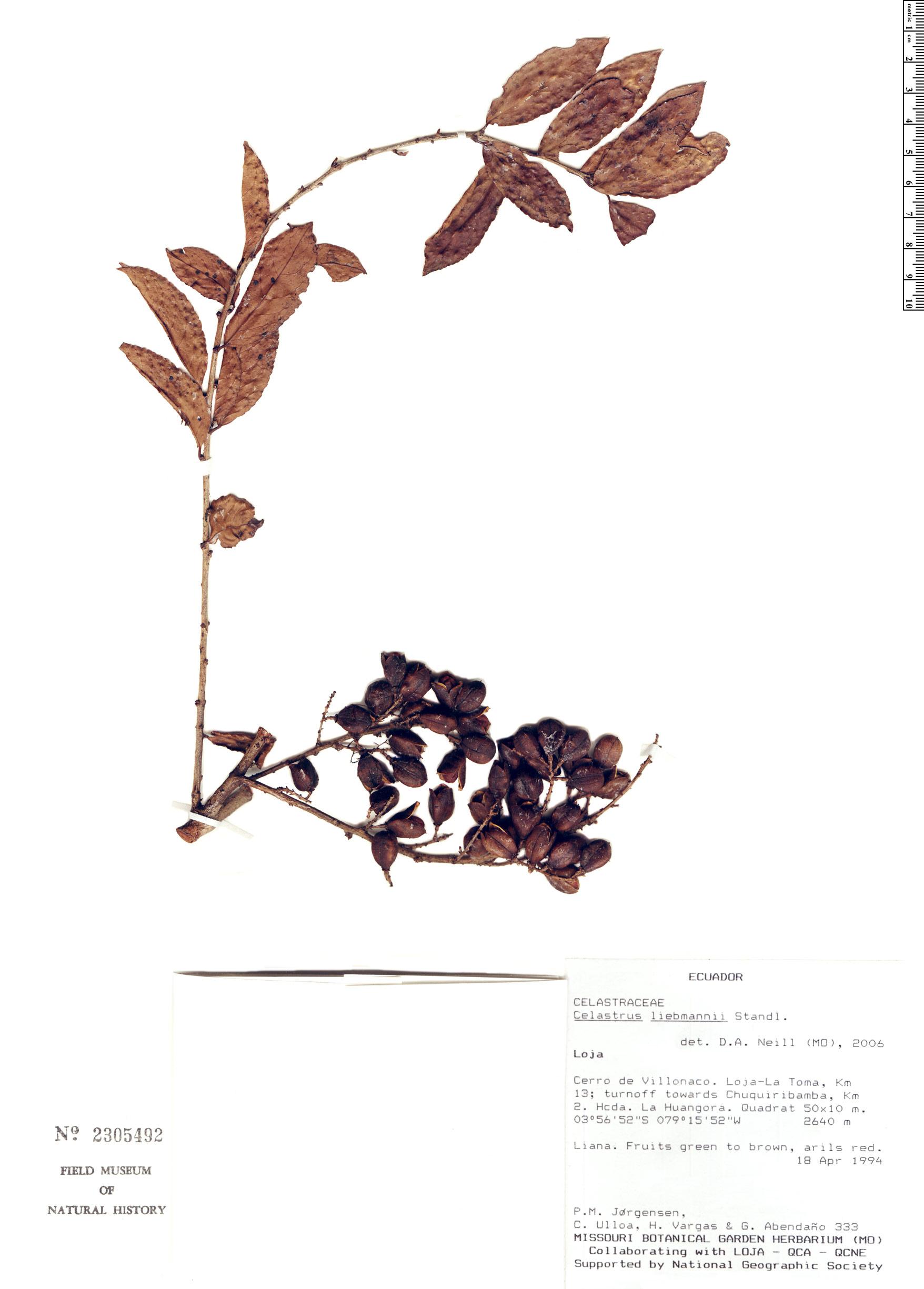 Celastrus liebmannii image