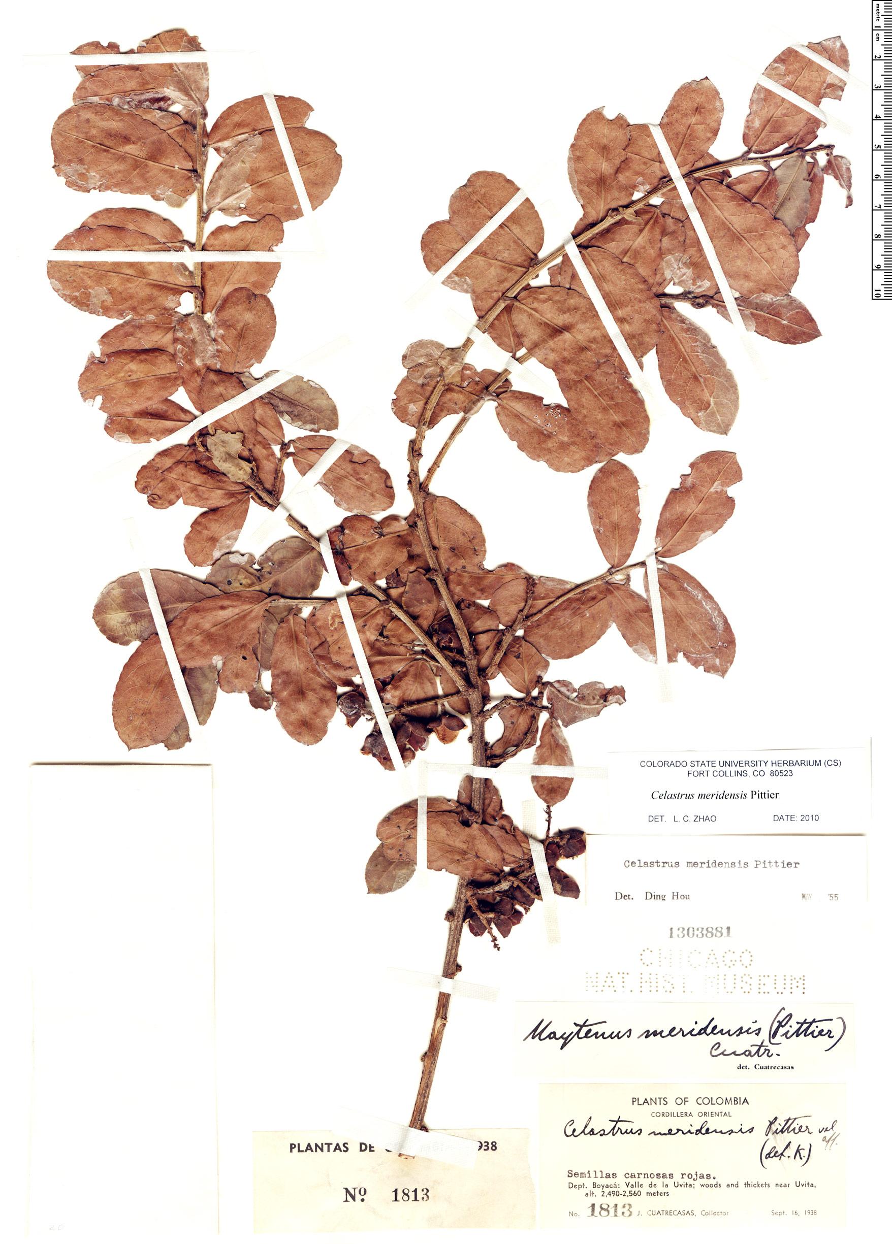 Specimen: Celastrus meridensis