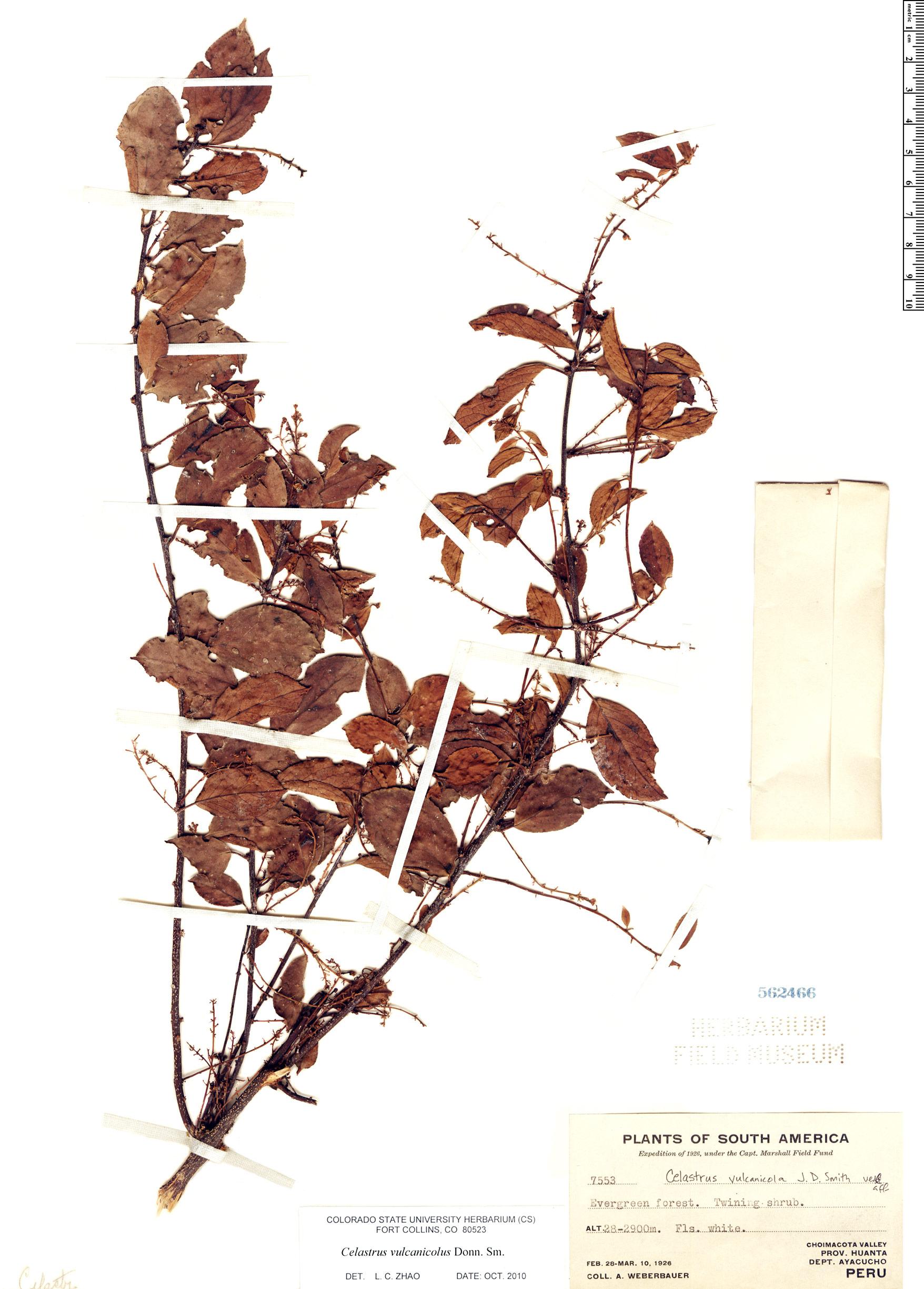 Specimen: Celastrus vulcanicola