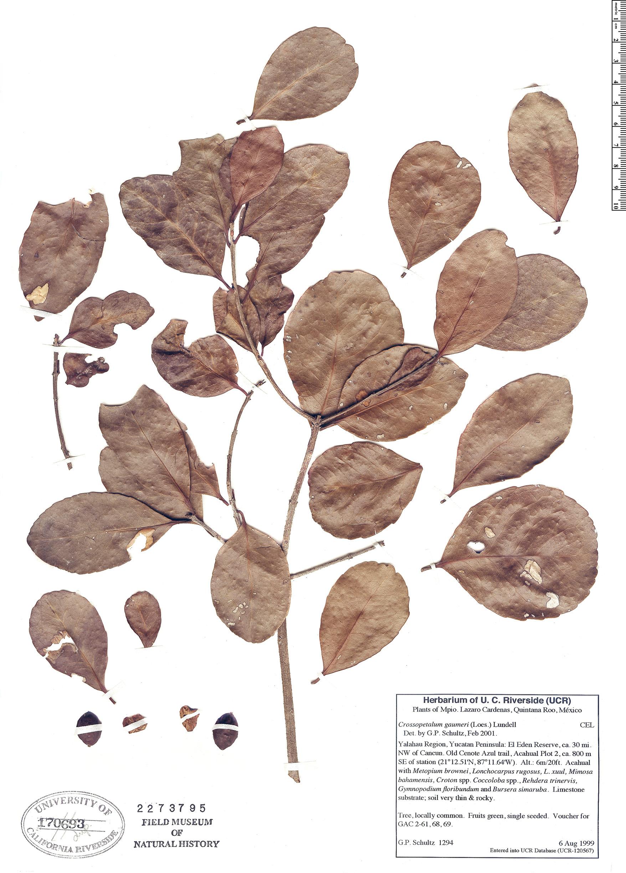 Specimen: Crossopetalum gaumeri