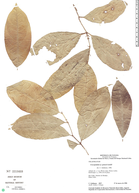 Specimen: Crossopetalum gomezii