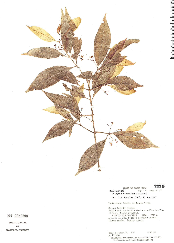 Specimen: Euonymus costaricensis