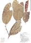 Maytenus krukovii image
