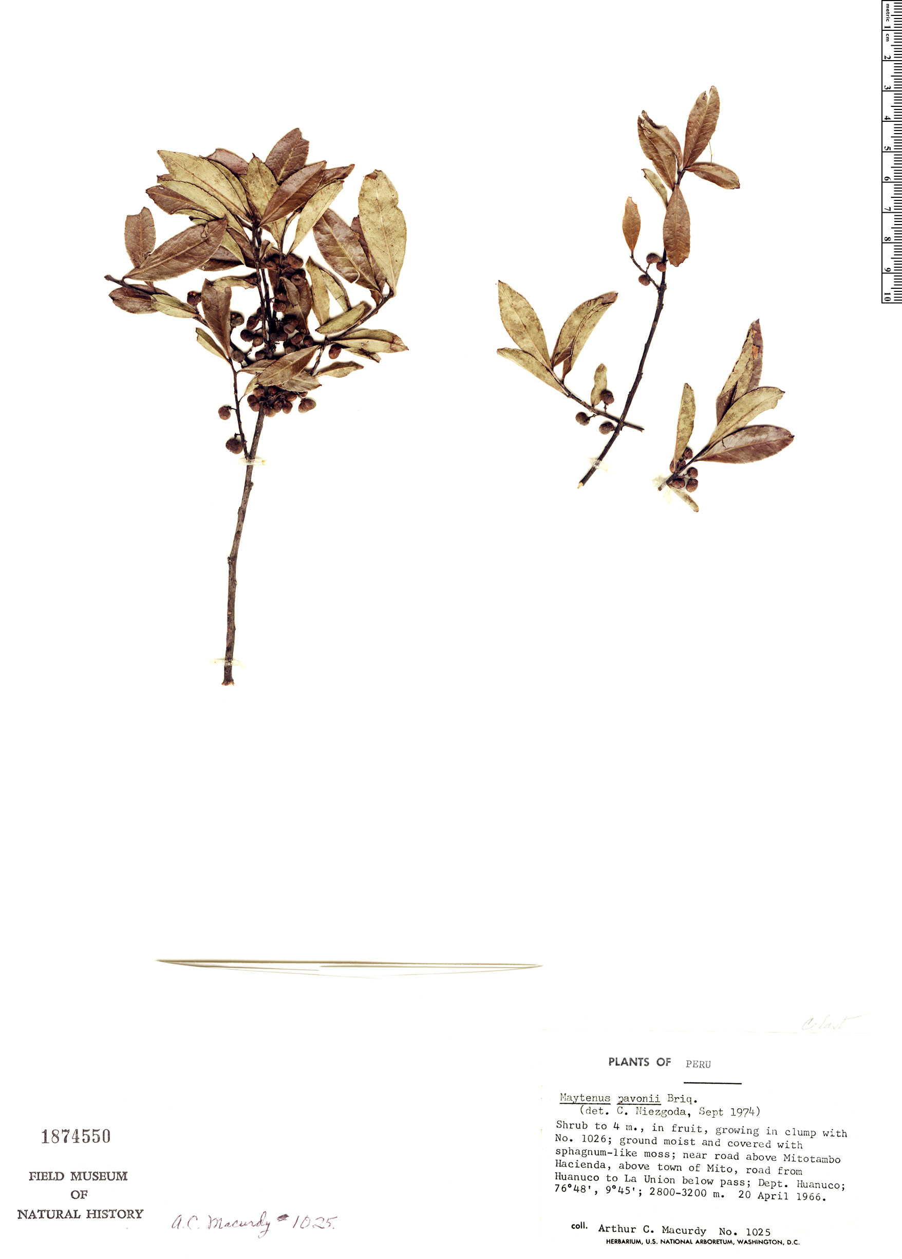Specimen: Maytenus pavonii