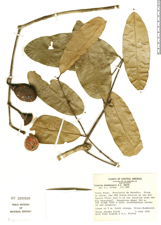 Specimen: Tontelea hondurensis