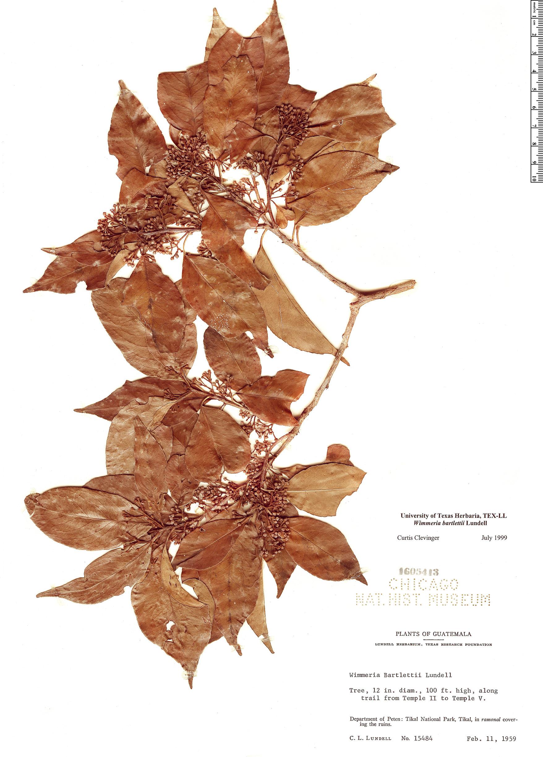 Specimen: Wimmeria bartlettii