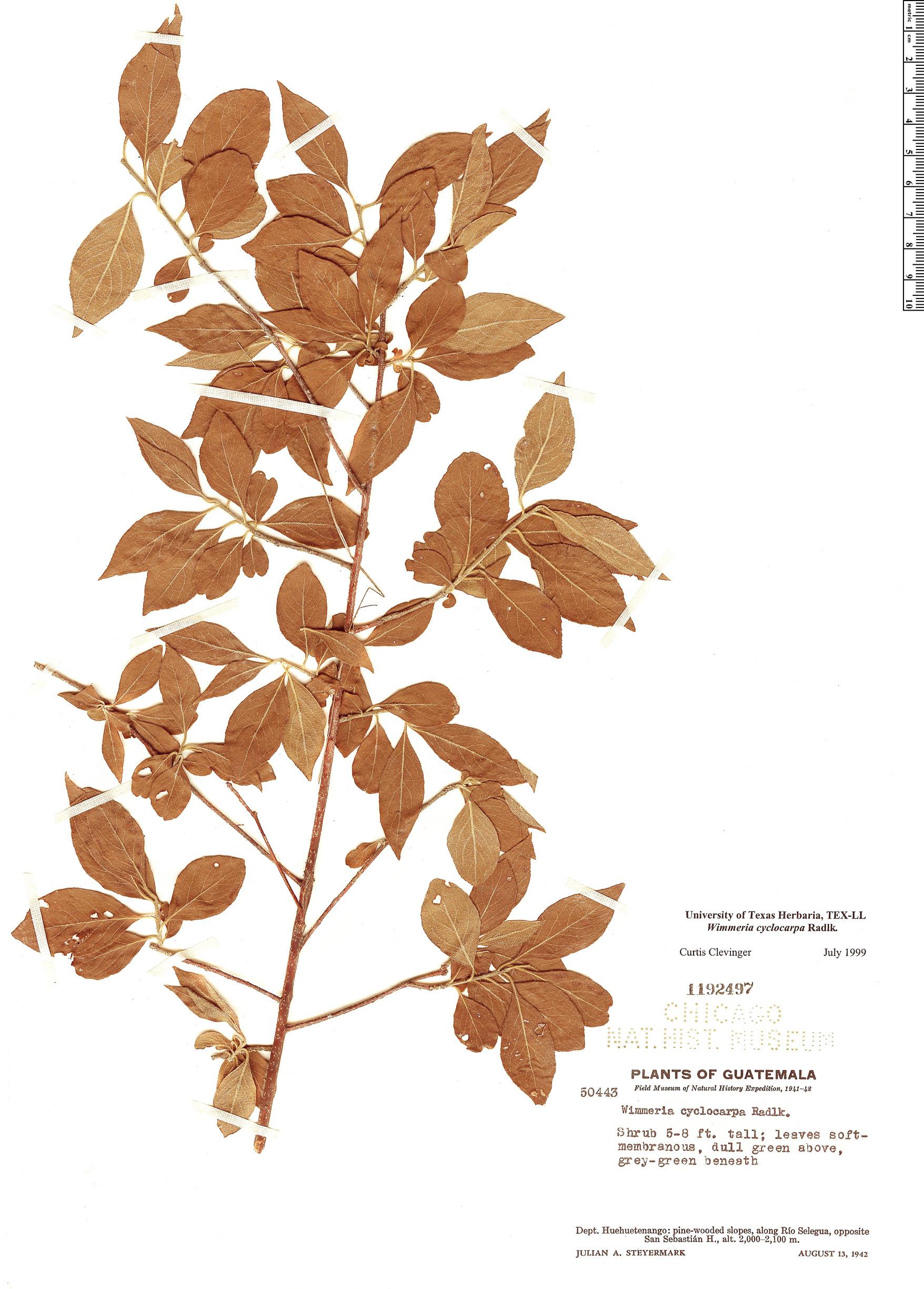 Specimen: Wimmeria cyclocarpa