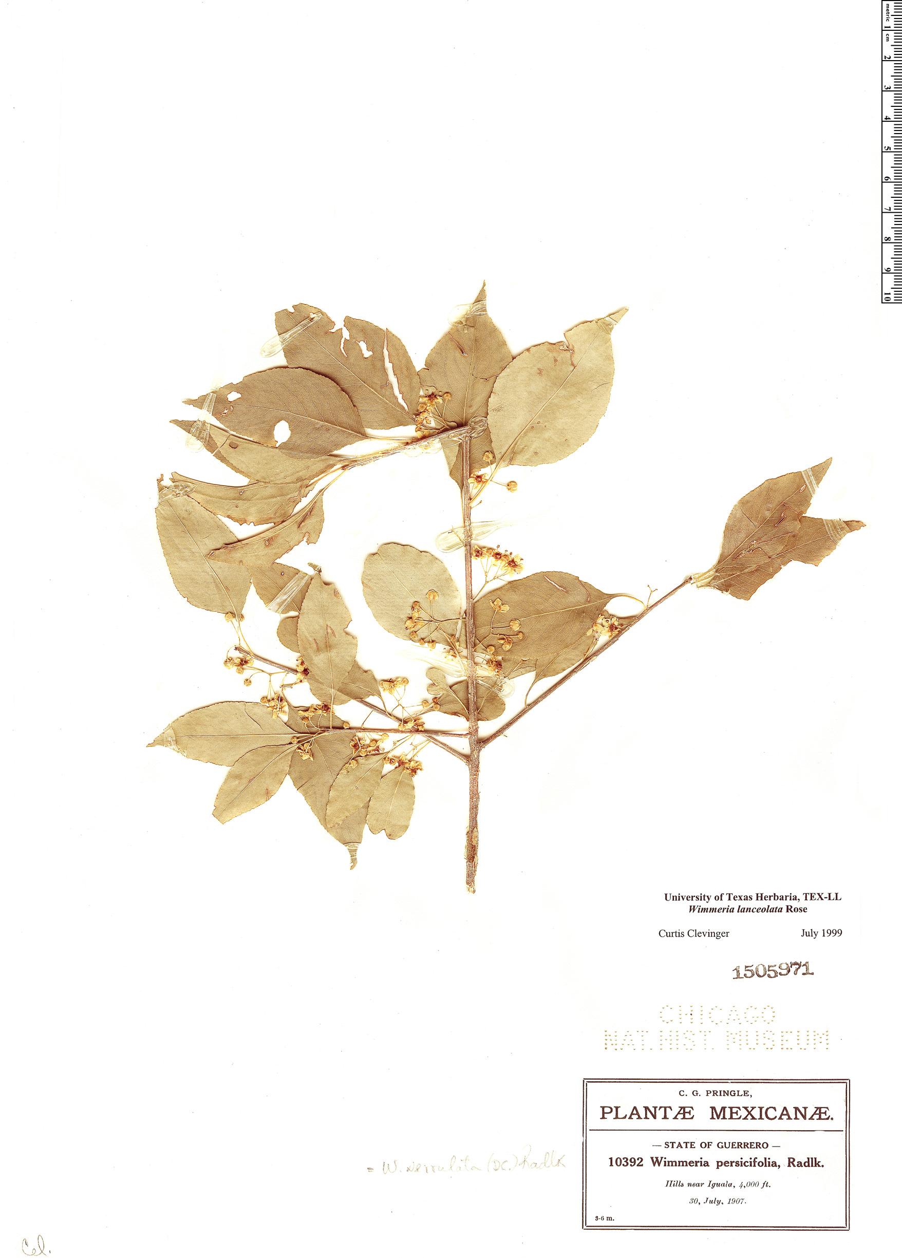 Specimen: Wimmeria lanceolata