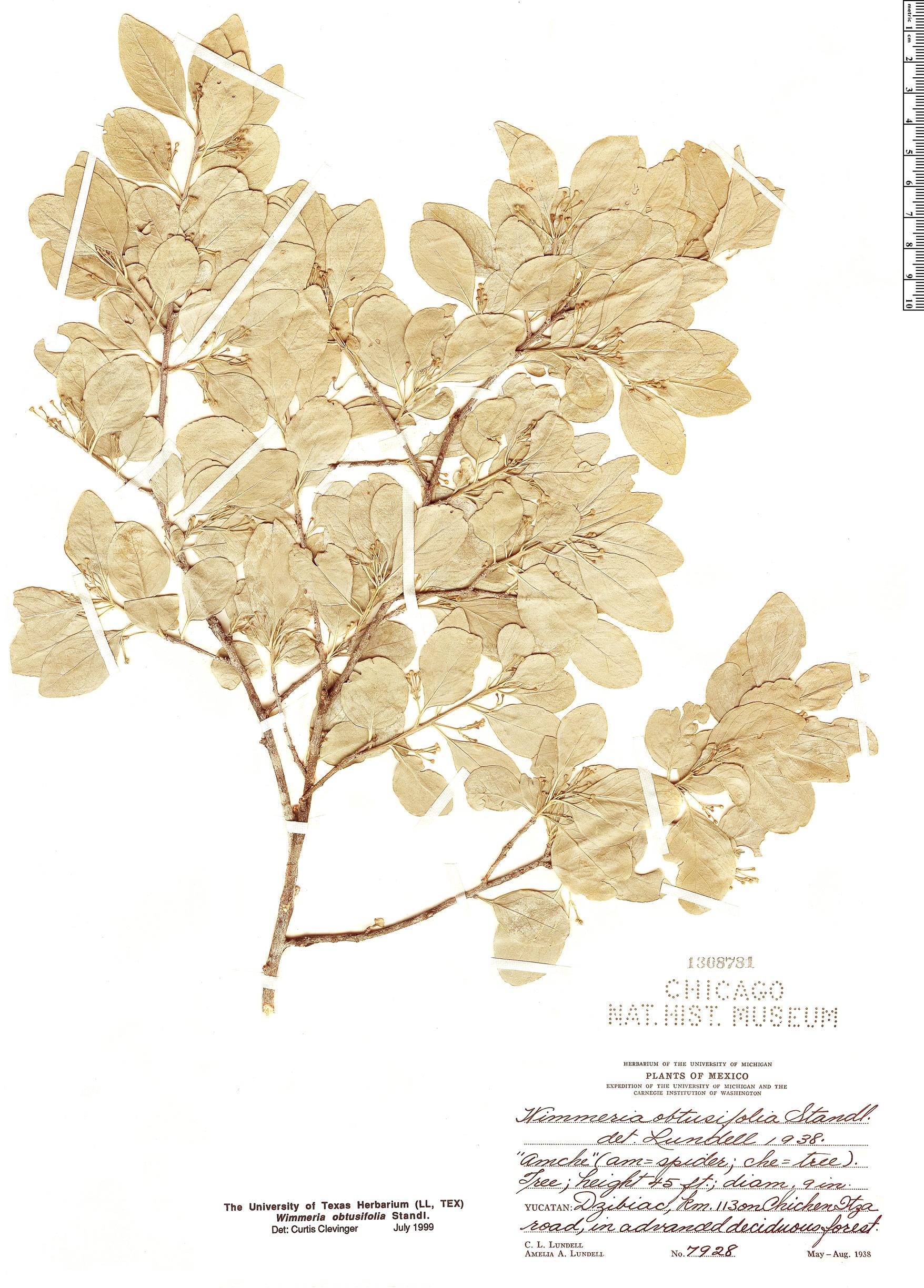 Specimen: Wimmeria obtusifolia