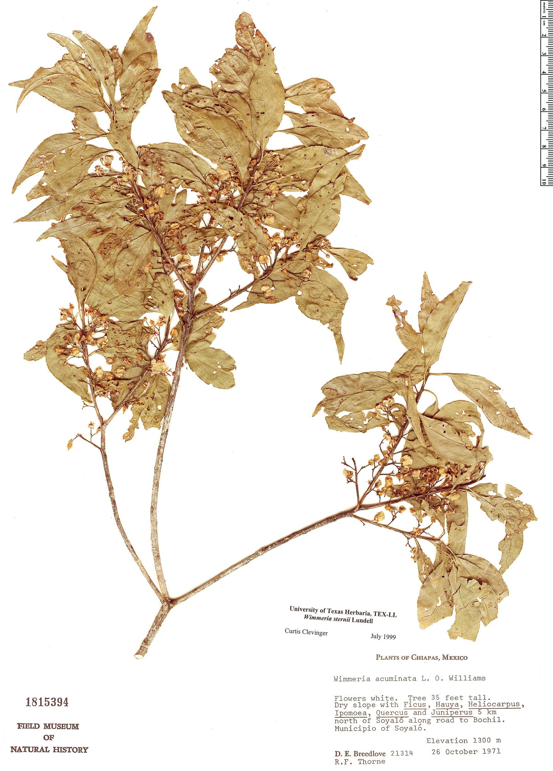 Specimen: Wimmeria sternii