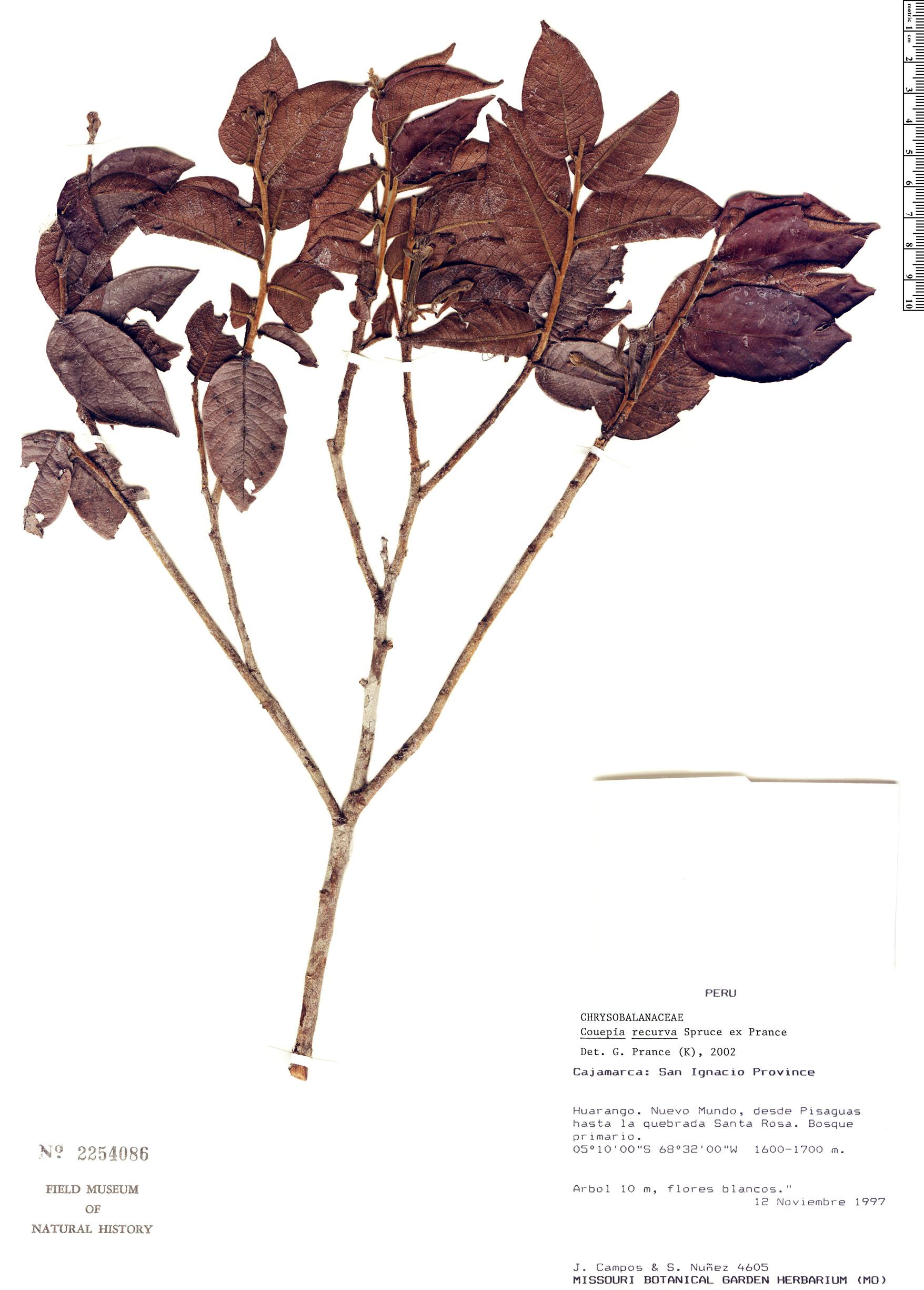 Espécimen: Couepia recurva