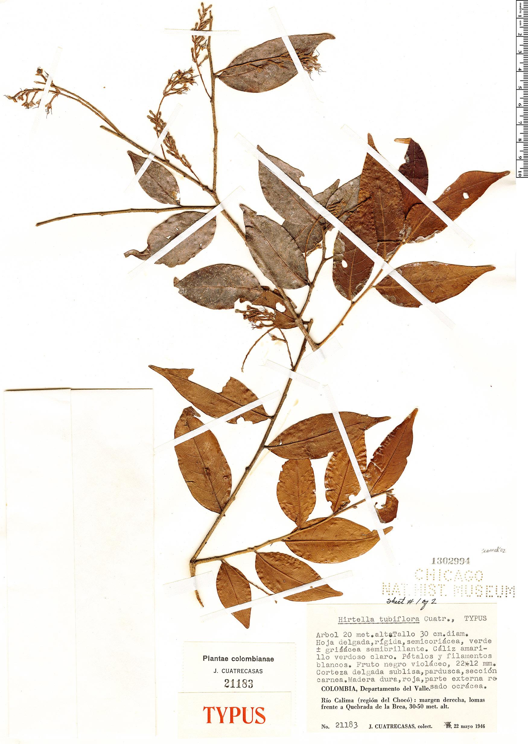 Specimen: Hirtella tubiflora