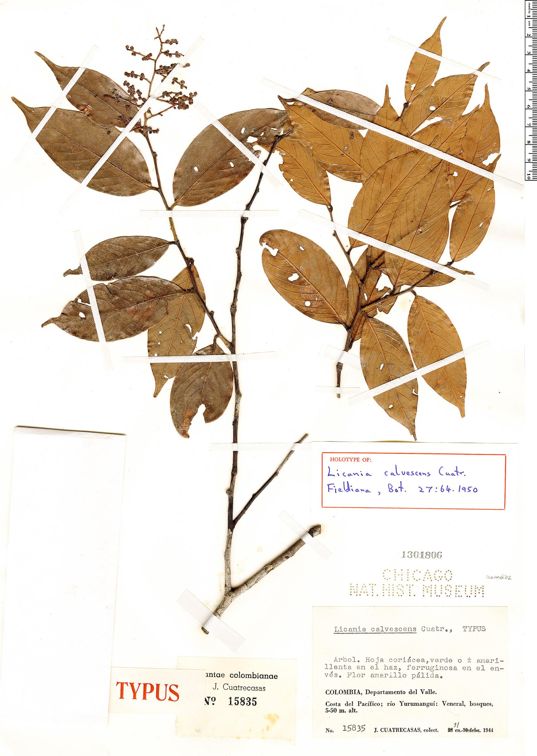 Espécime: Licania calvescens