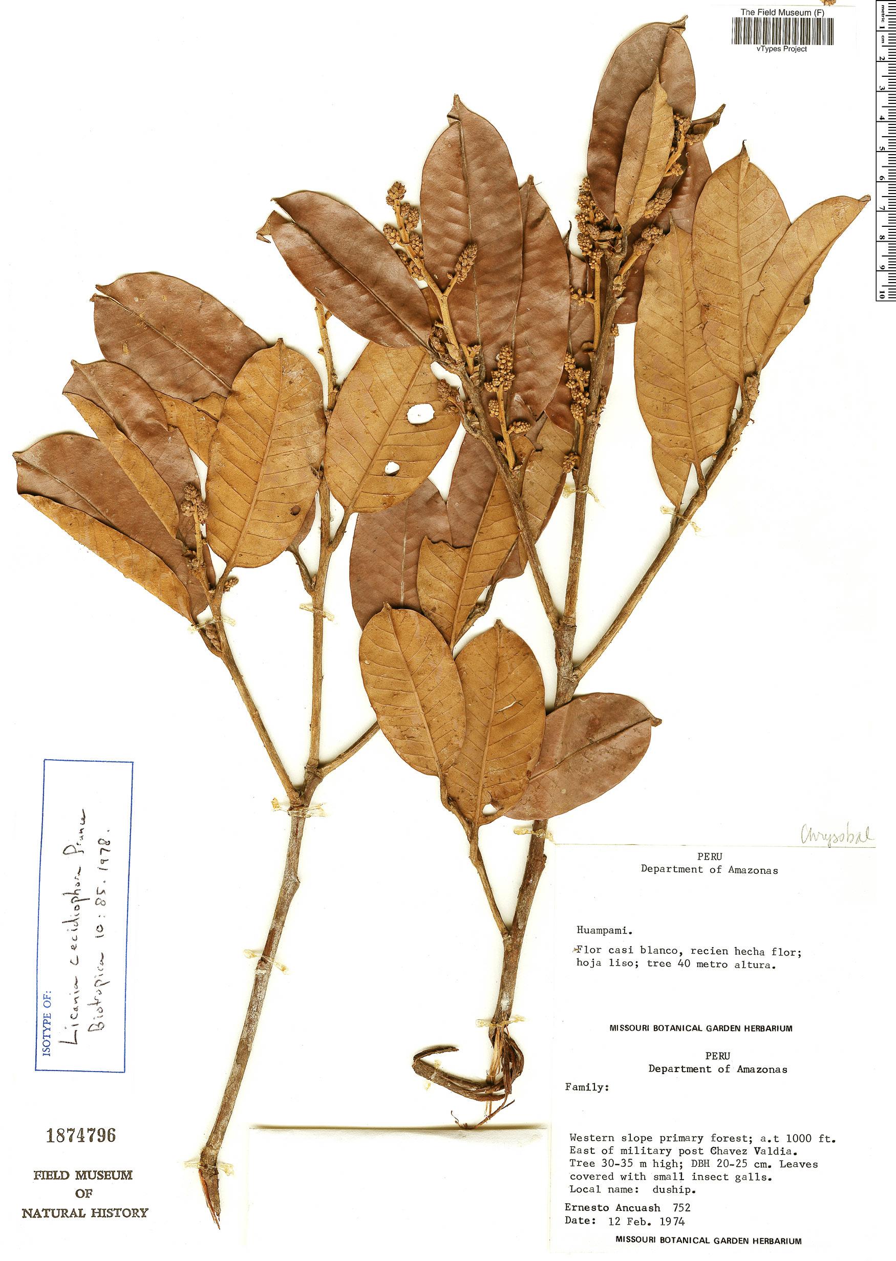 Specimen: Licania cecidiophora