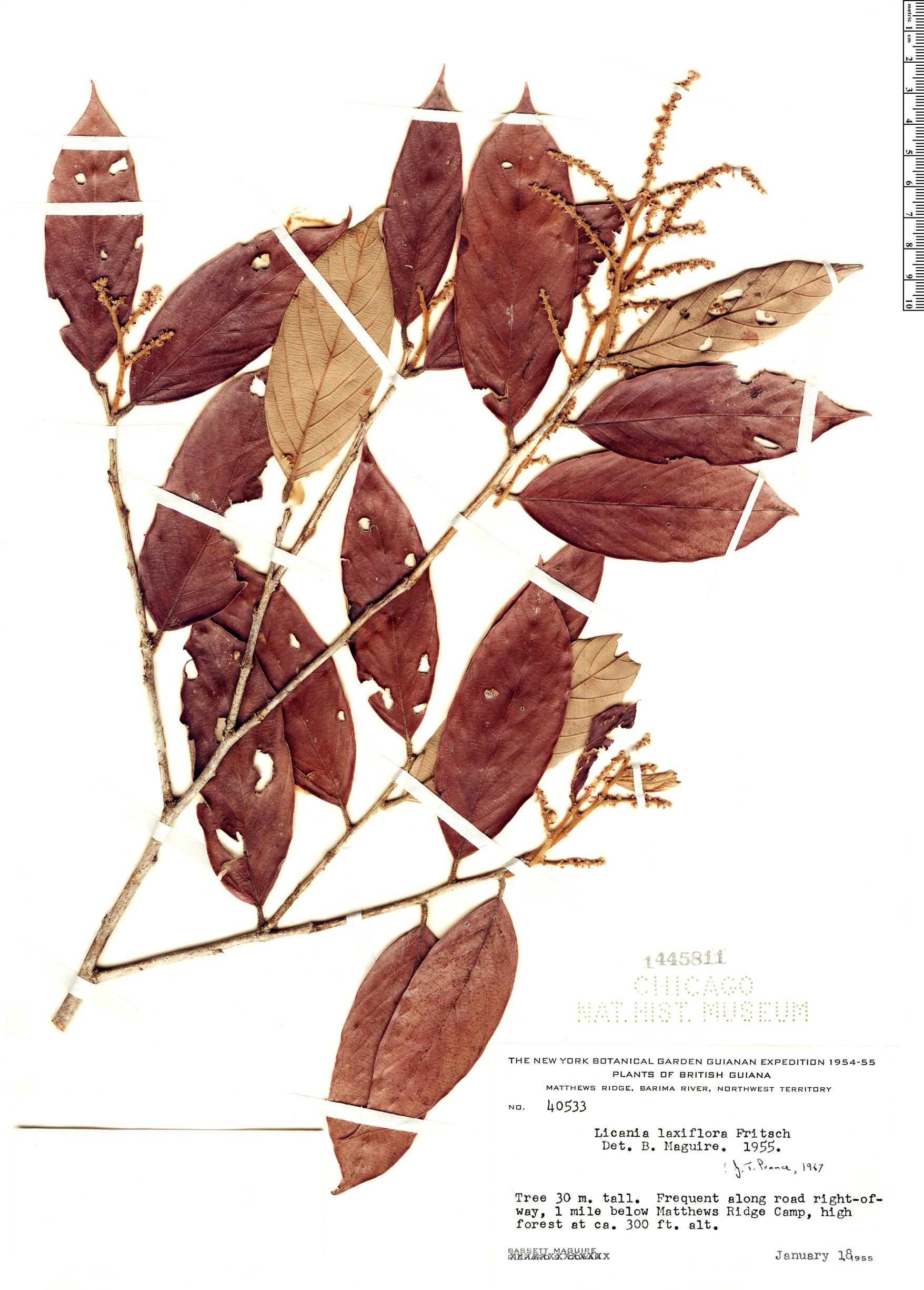 Specimen: Licania laxiflora
