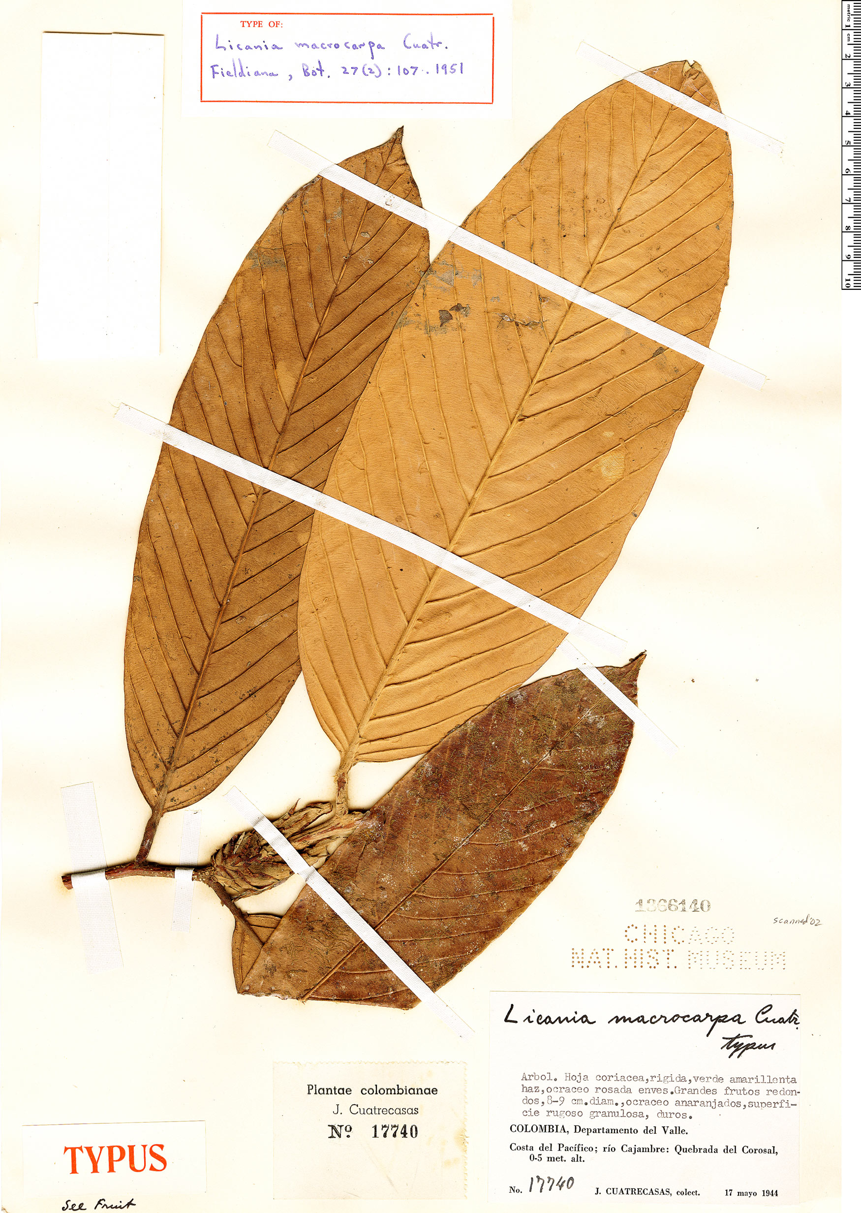 Specimen: Licania macrocarpa
