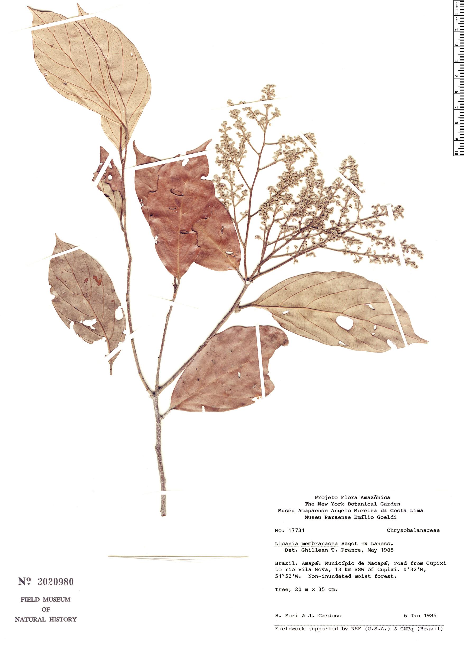 Specimen: Licania membranacea