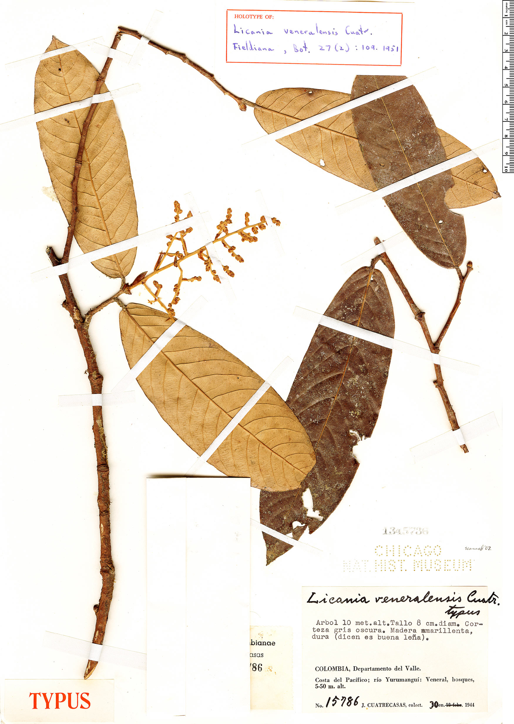 Specimen: Licania veneralensis