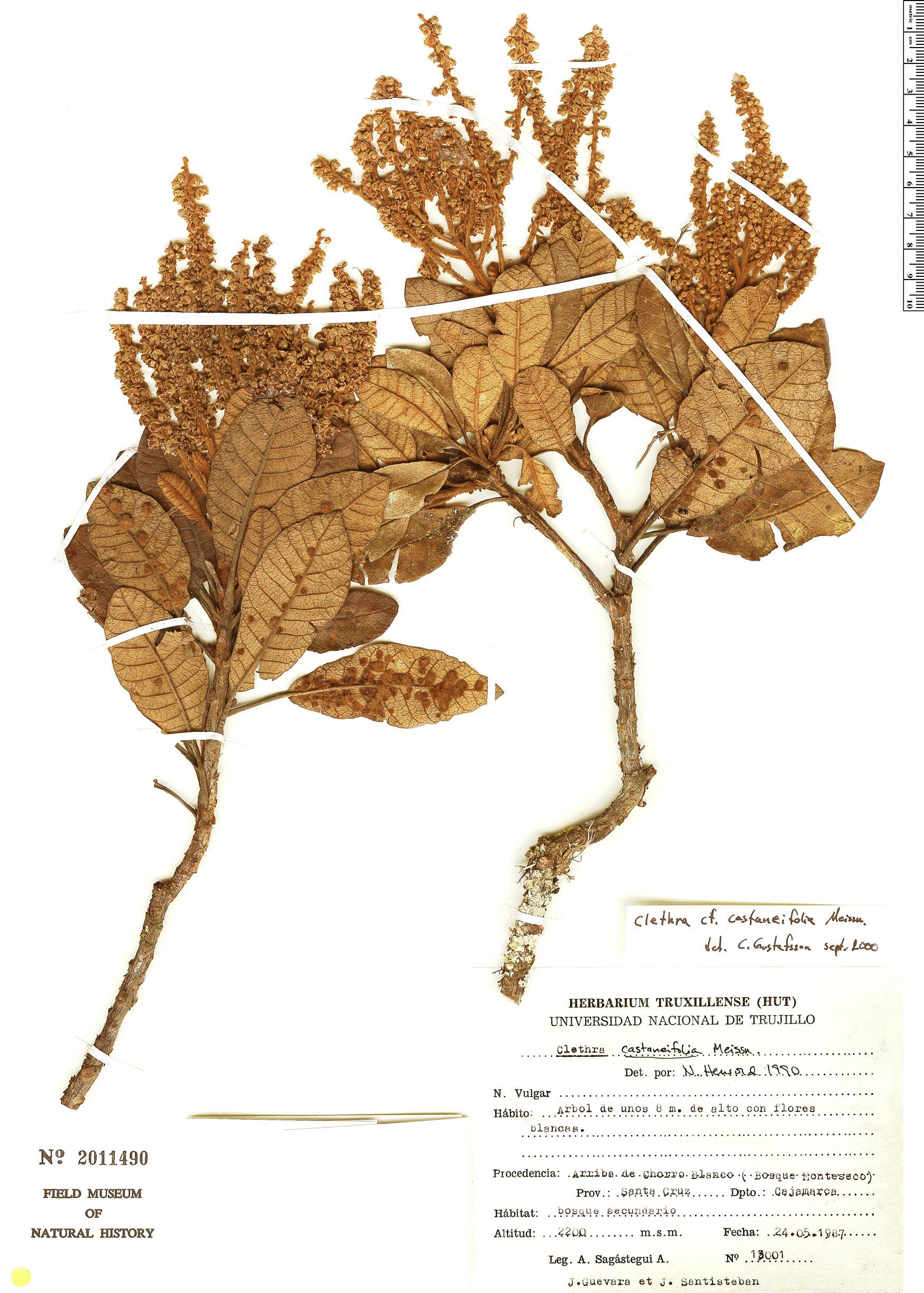 Specimen: Clethra castaneifolia