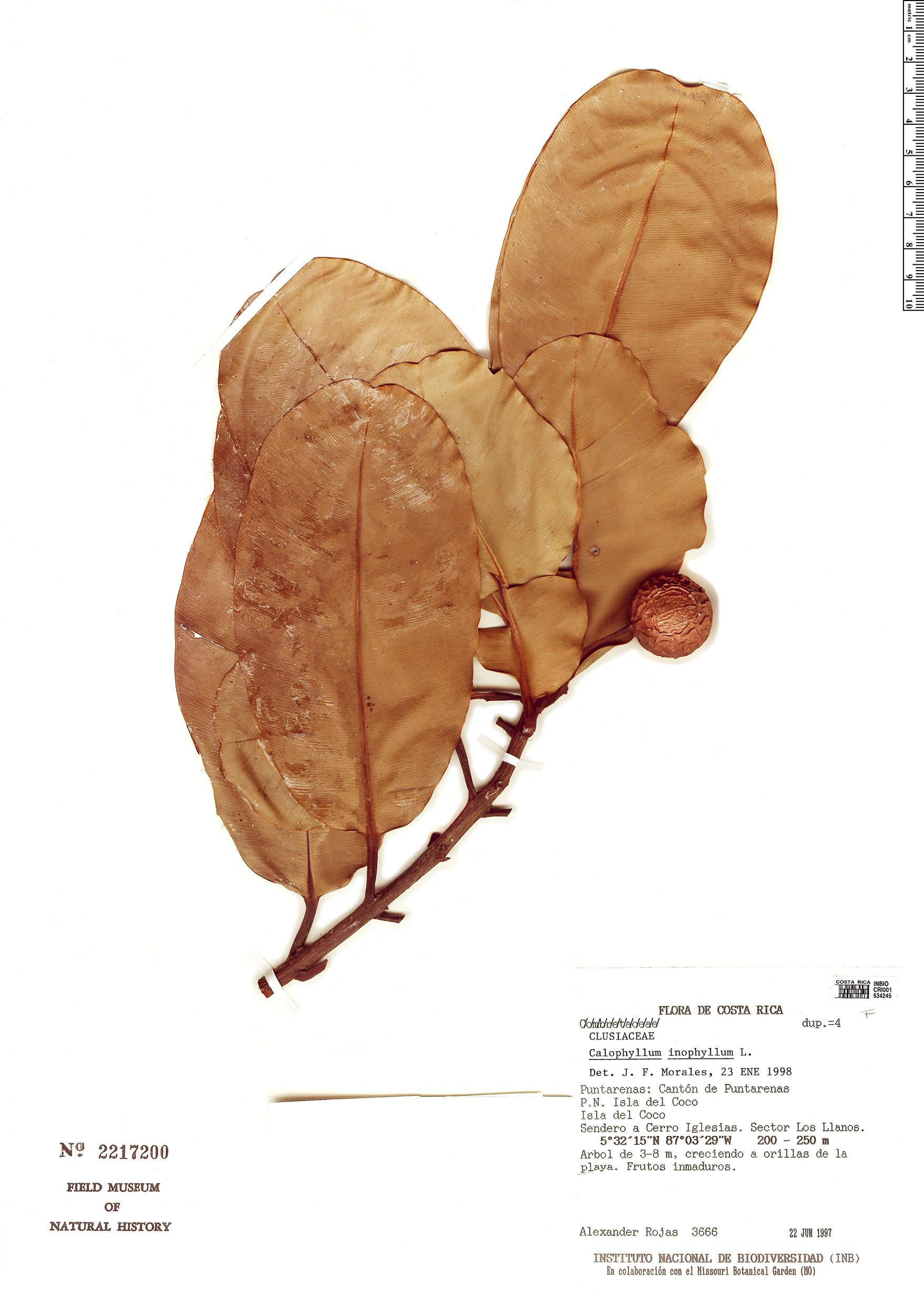 Specimen: Calophyllum inophyllum