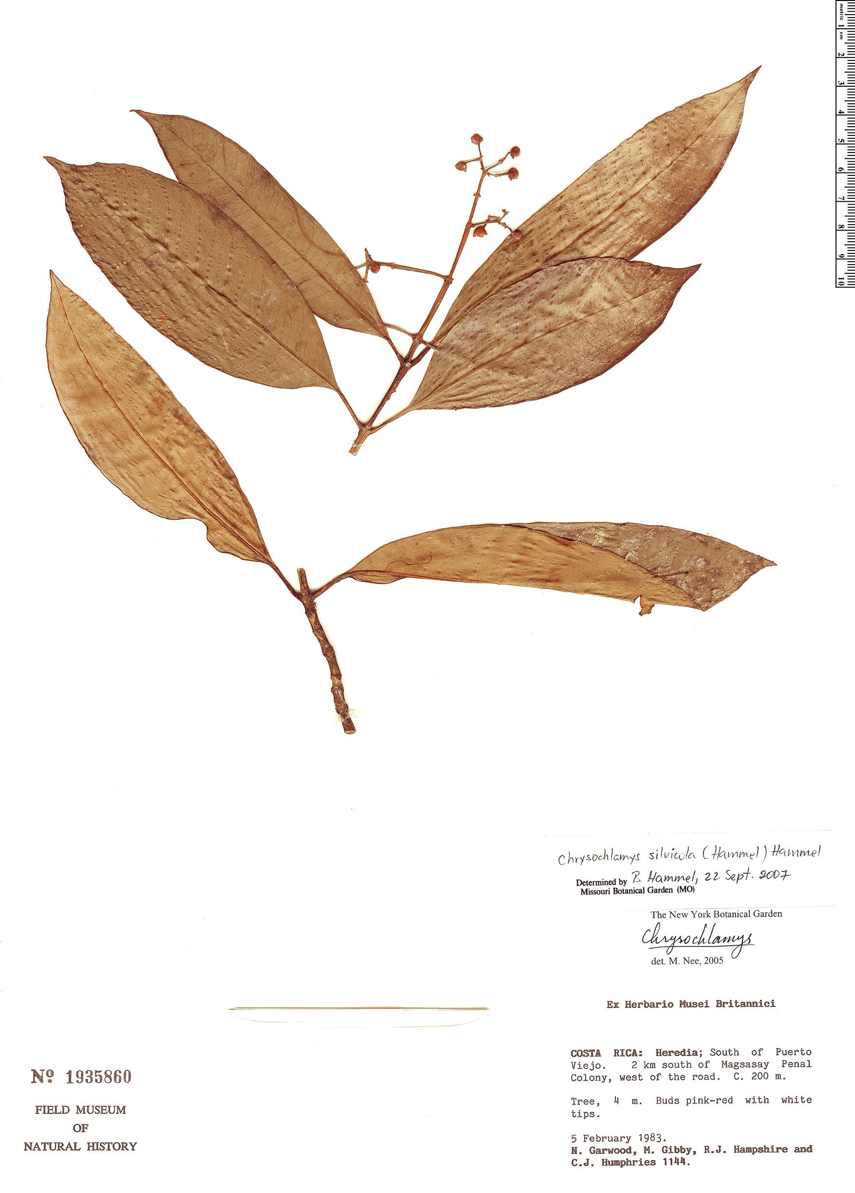Specimen: Chrysochlamys silvicola