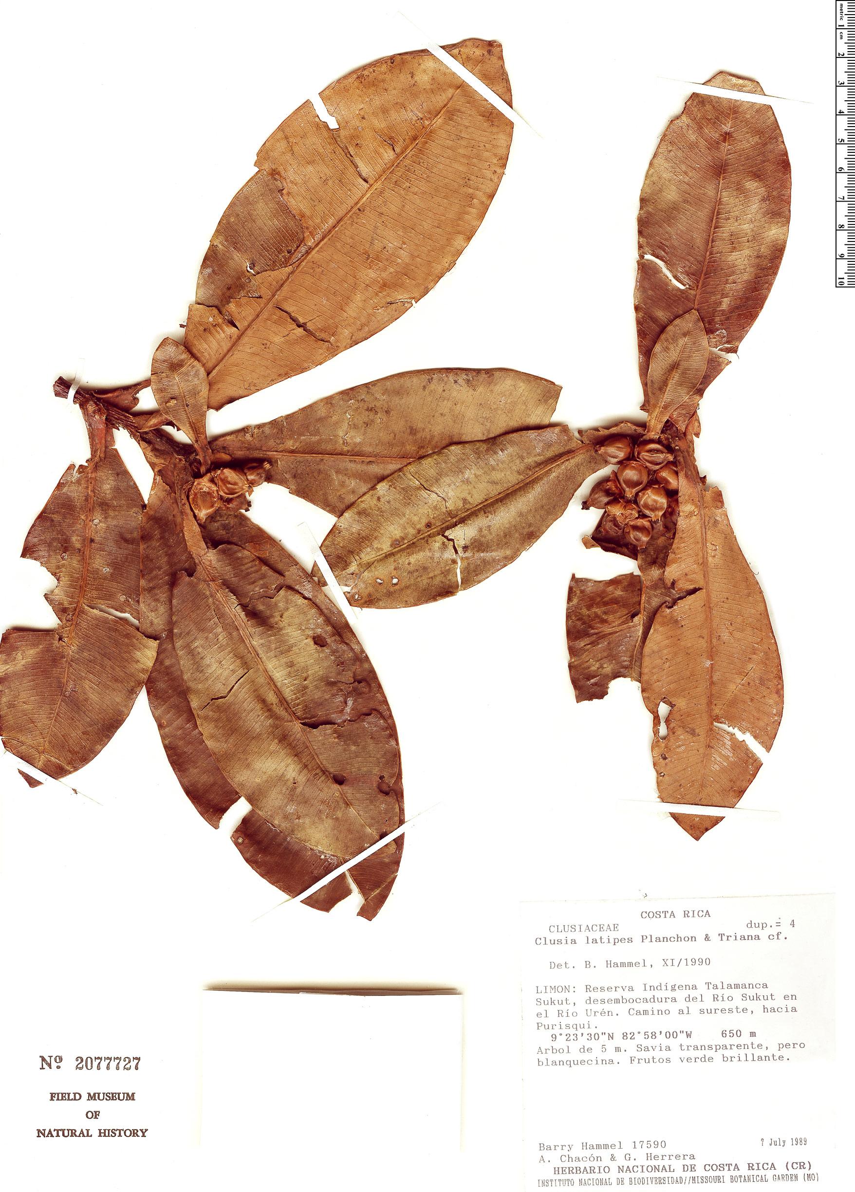 Specimen: Clusia latipes