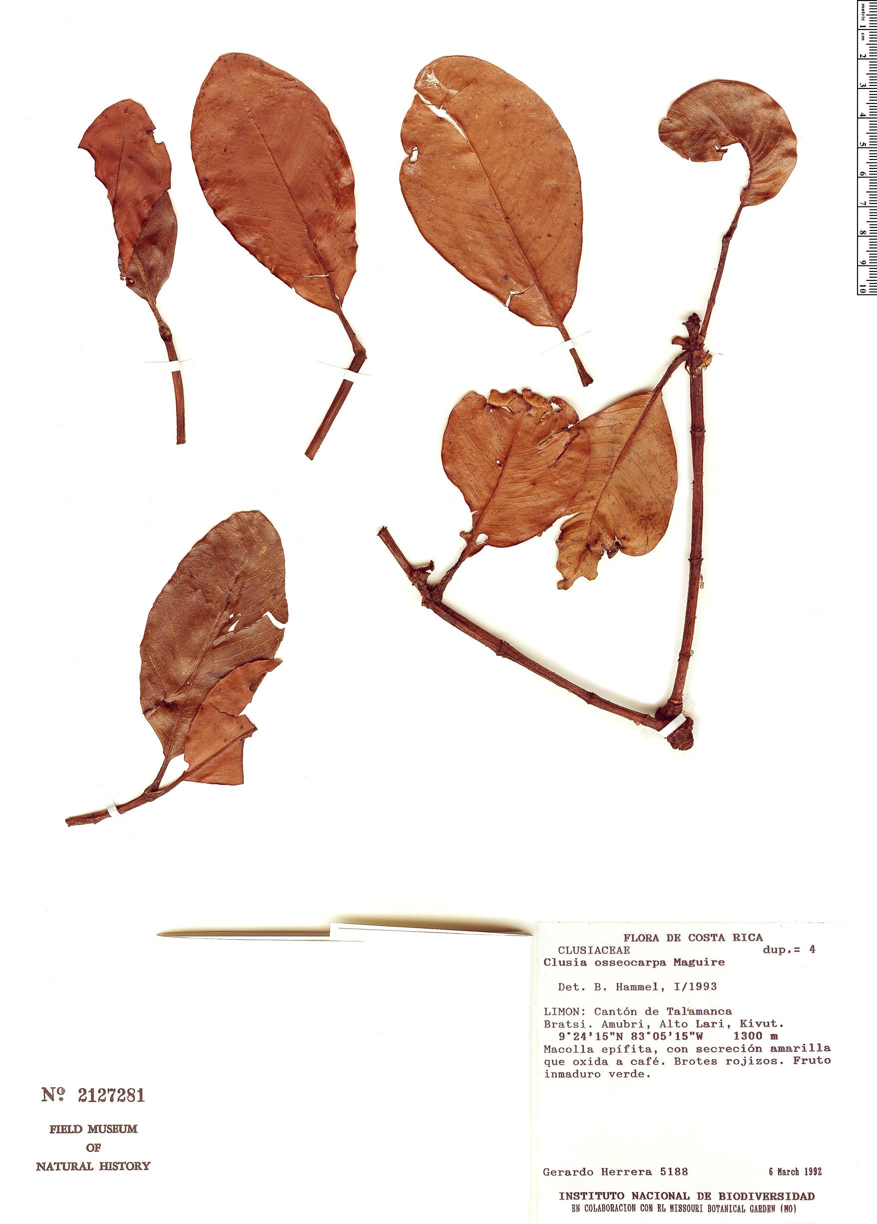 Specimen: Clusia osseocarpa
