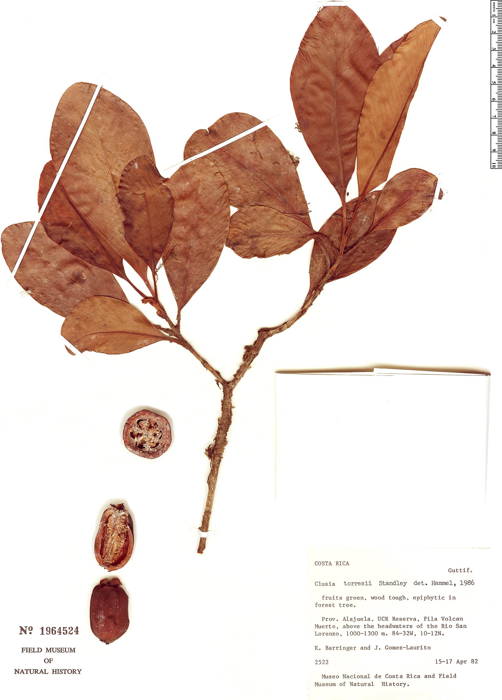 Specimen: Clusia torresii