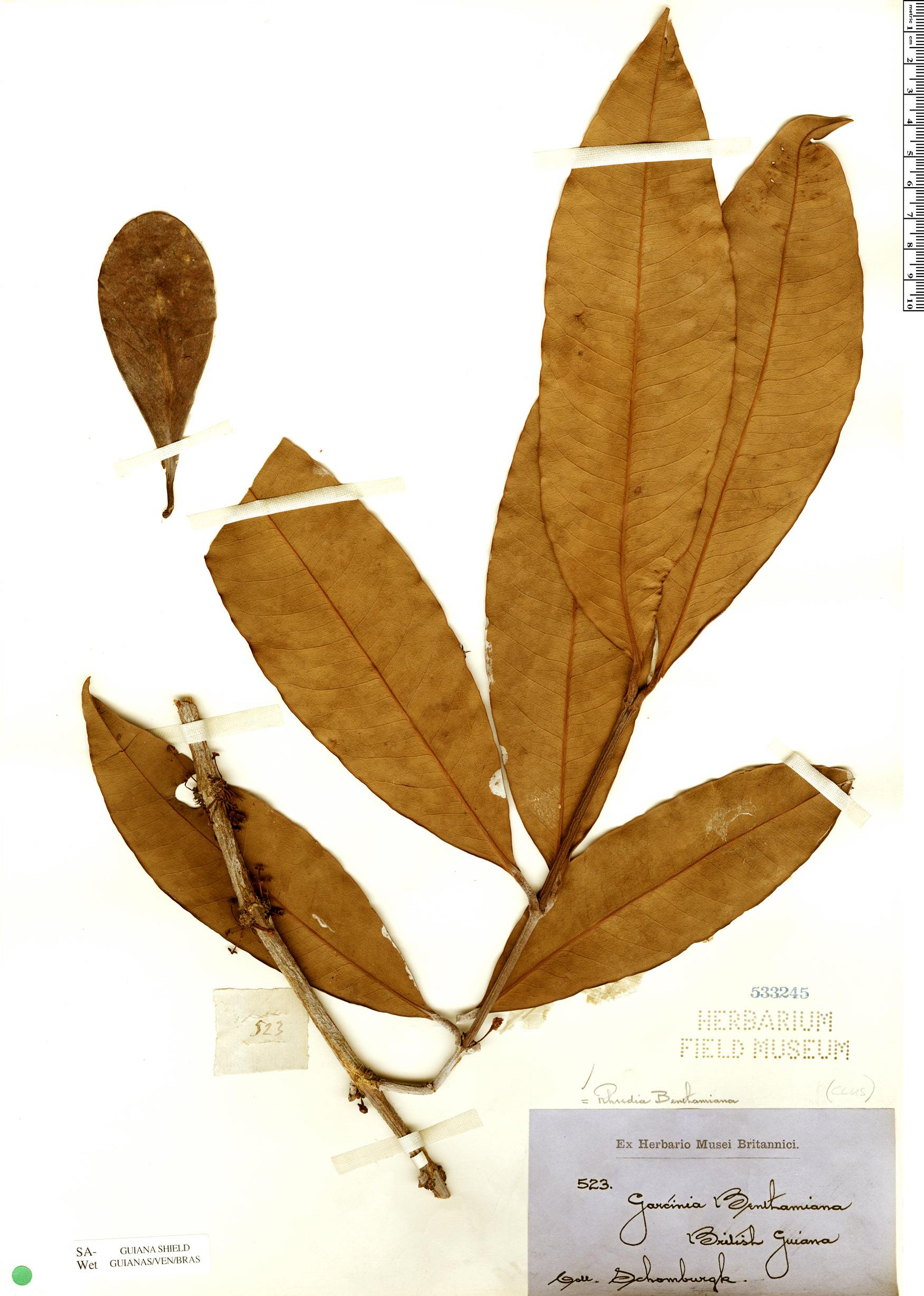 Specimen: Garcinia magnifolia