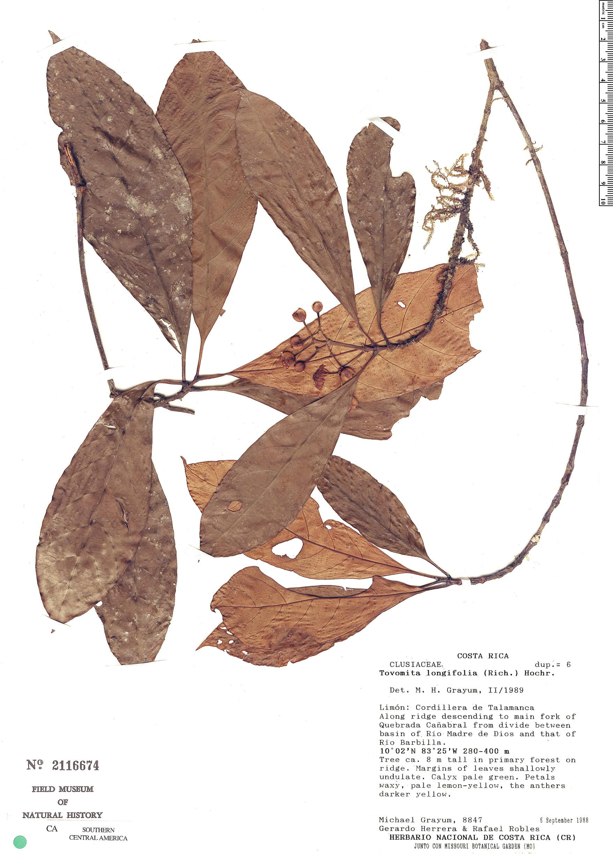 Specimen: Tovomita longifolia