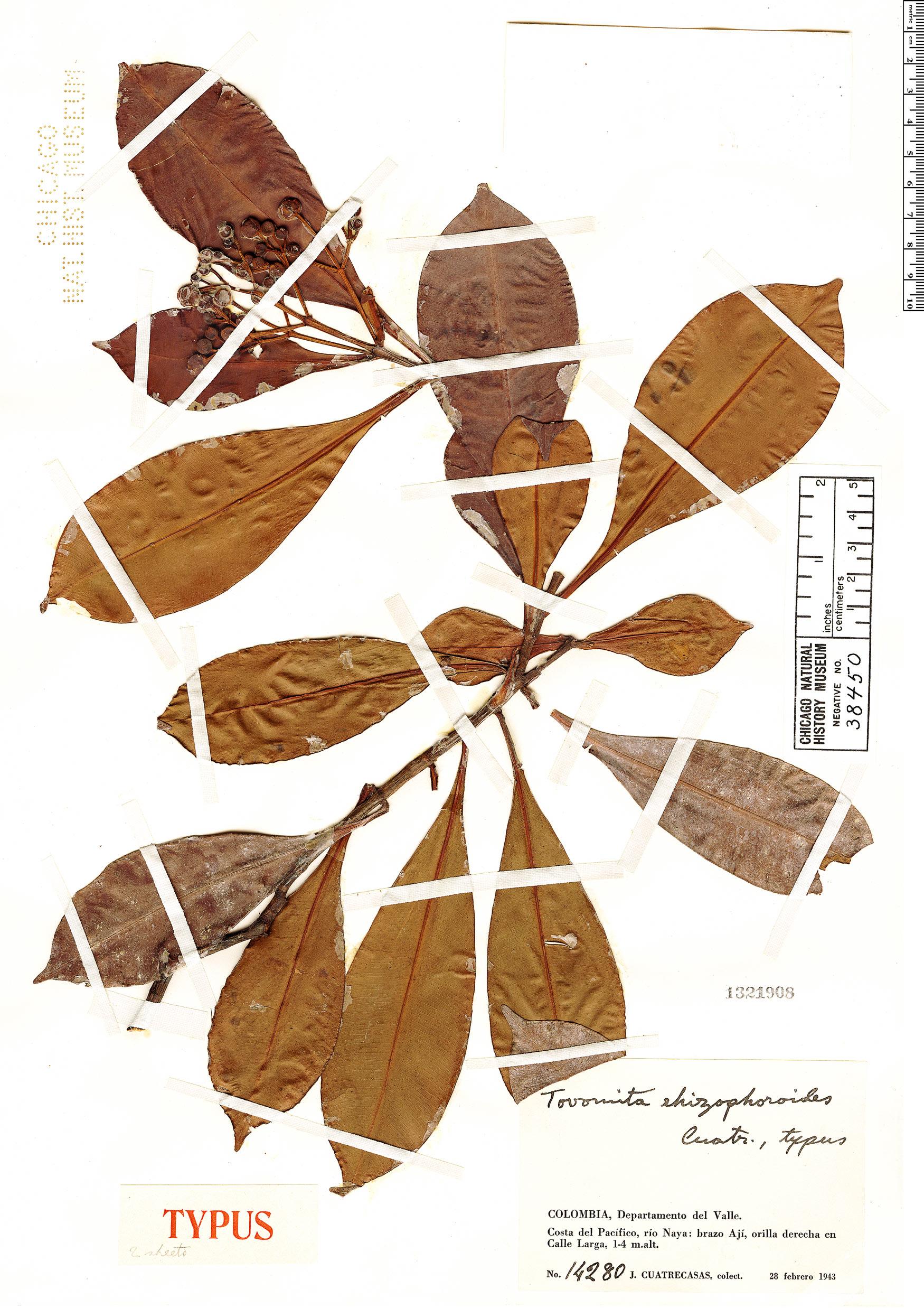 Specimen: Tovomita rhizophoroides