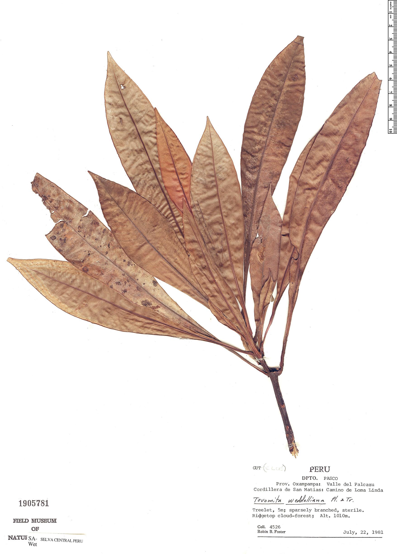 Specimen: Tovomita weddelliana