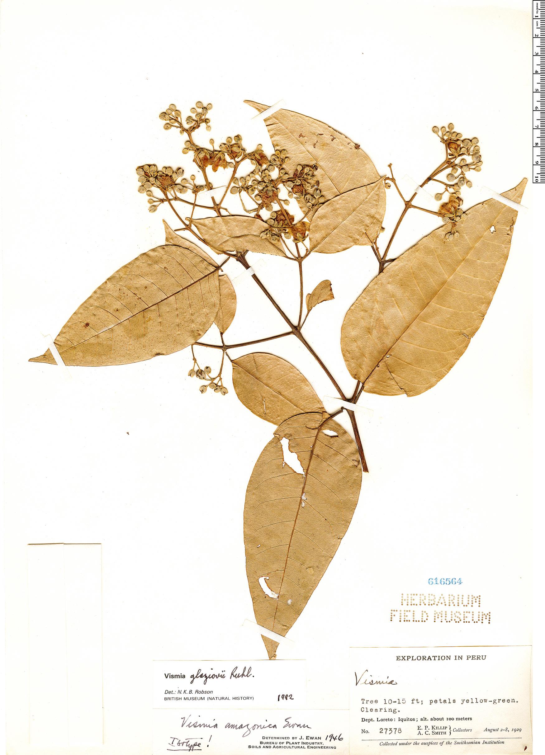 Specimen: Vismia gracilis