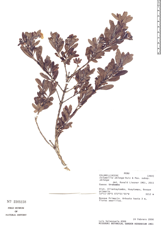 Specimen: Columellia oblonga