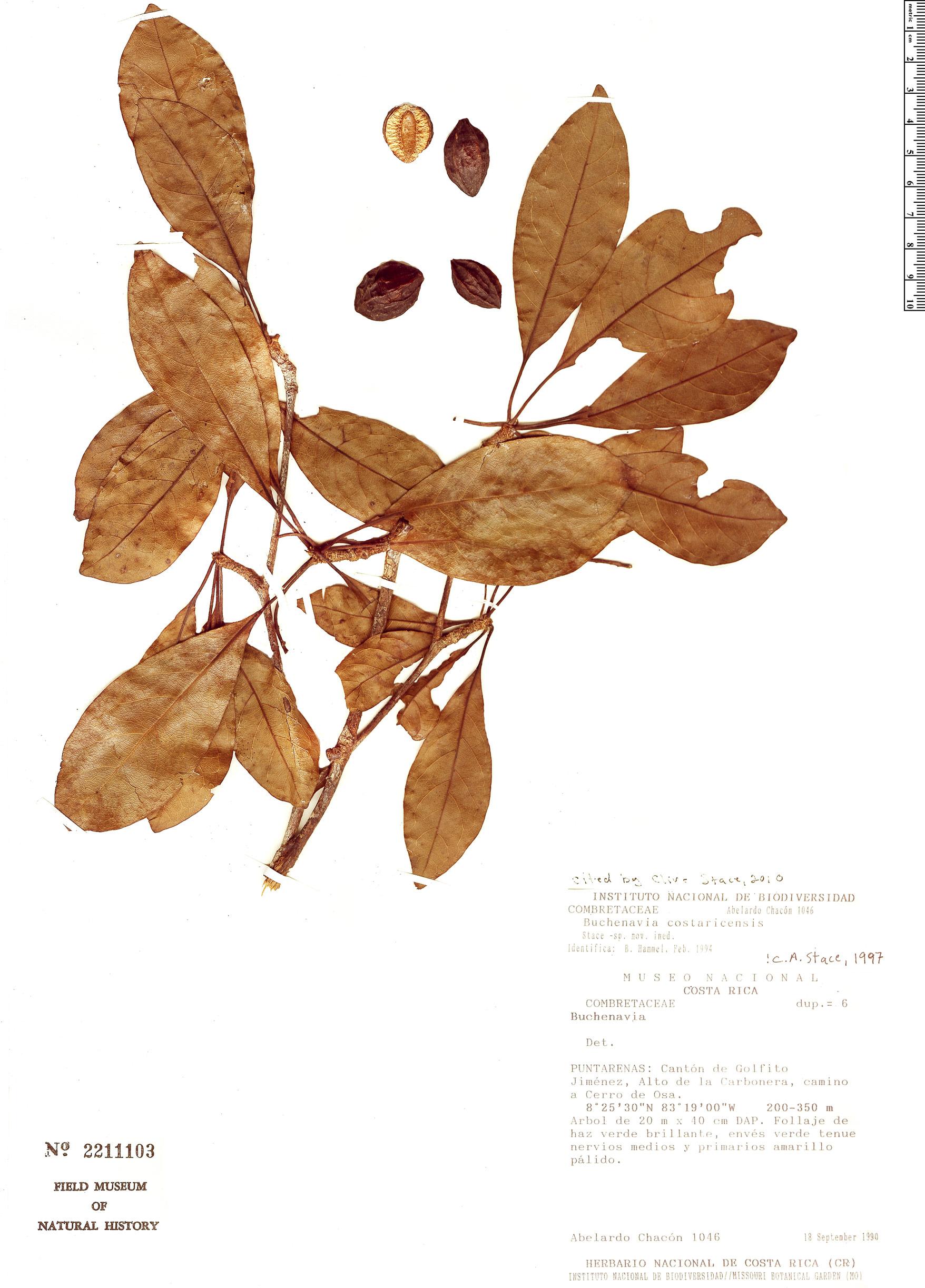 Specimen: Buchenavia costaricensis