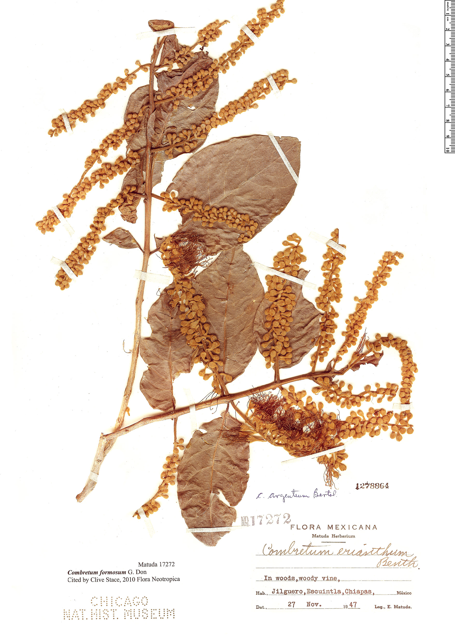 Specimen: Combretum formosum
