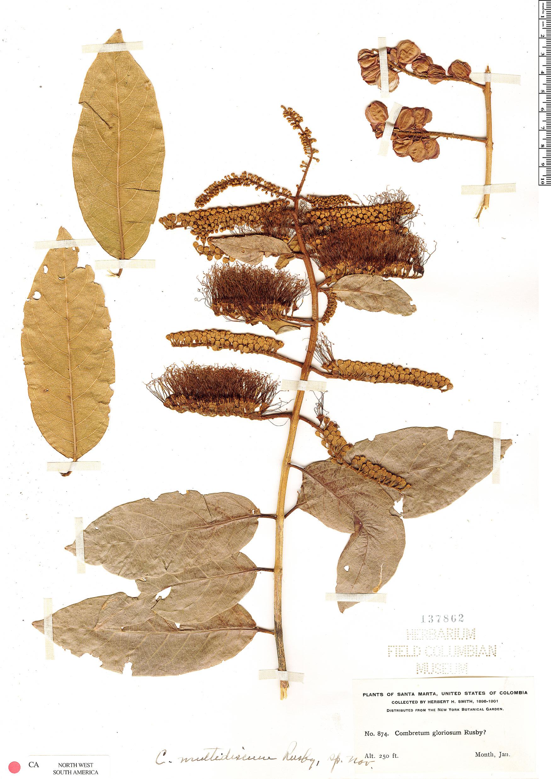 Espécimen: Combretum fruticosum