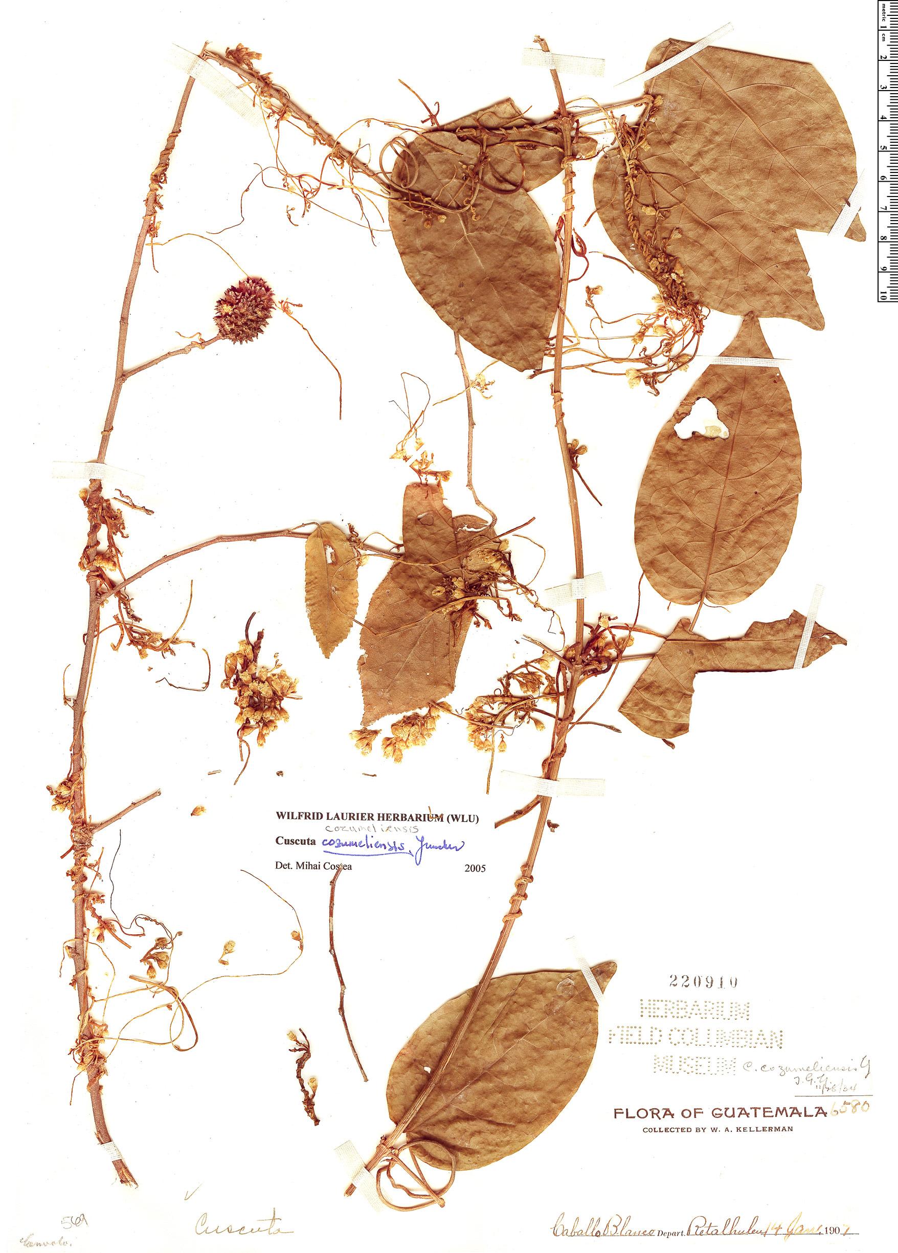Espécime: Cuscuta cozumeliensis