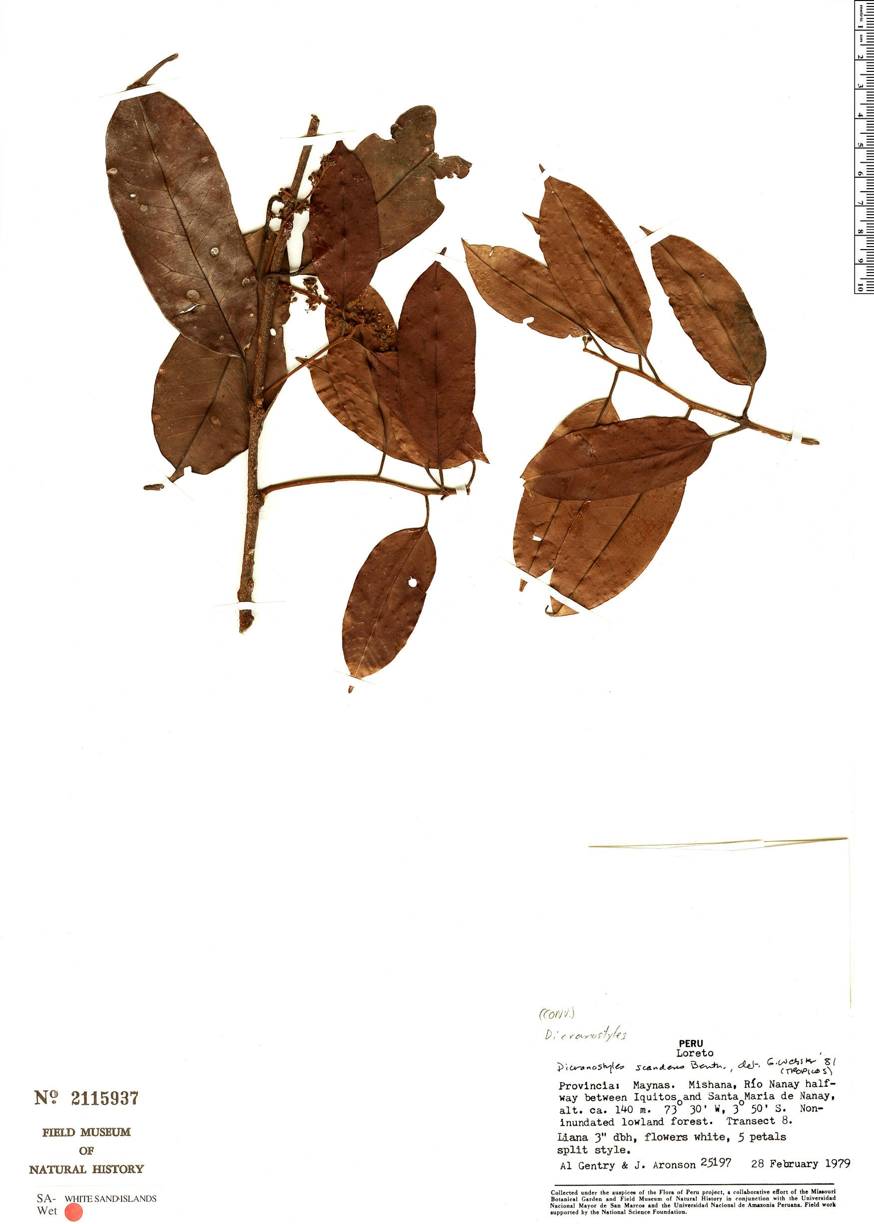 Specimen: Dicranostyles scandens