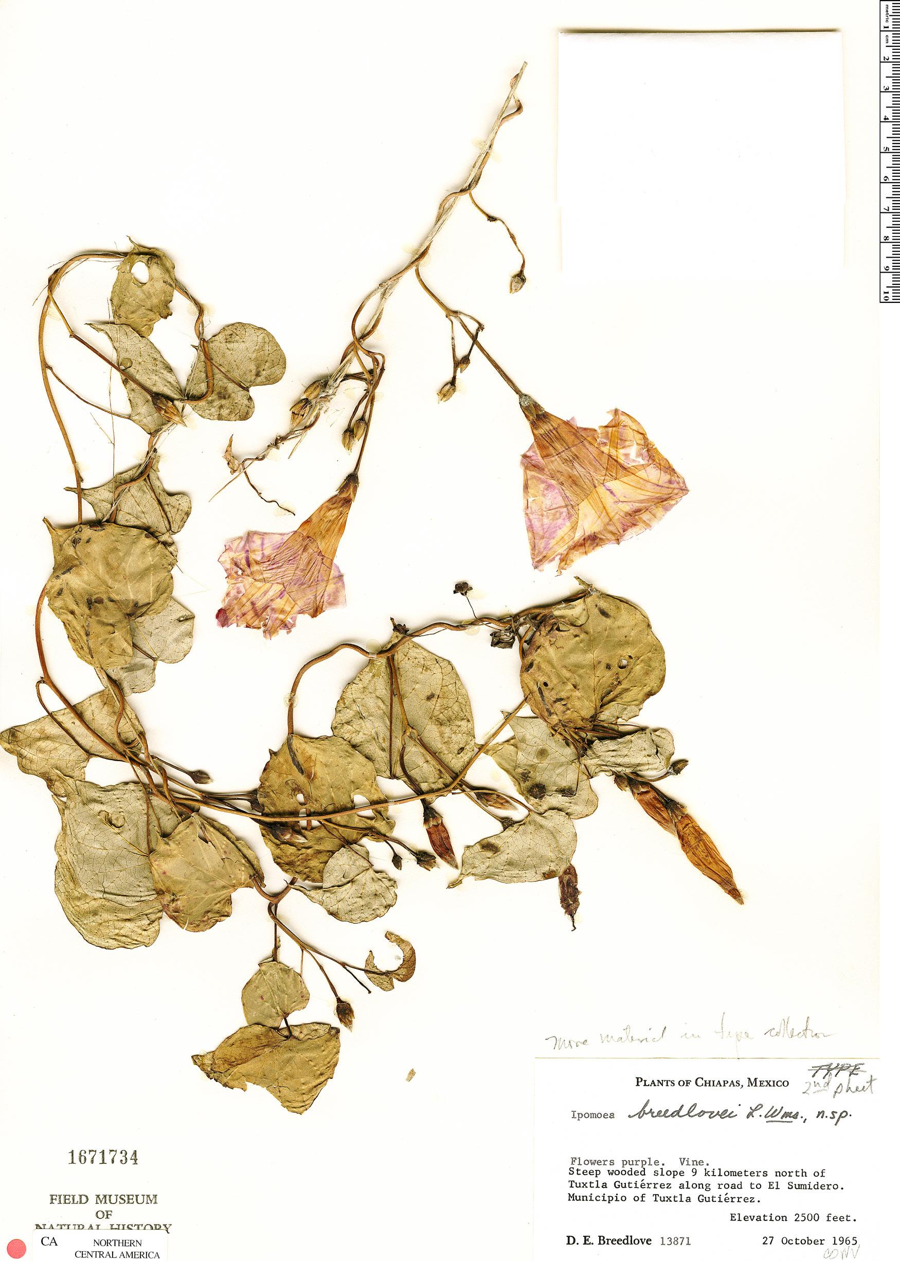 Specimen: Ipomoea pedicellaris