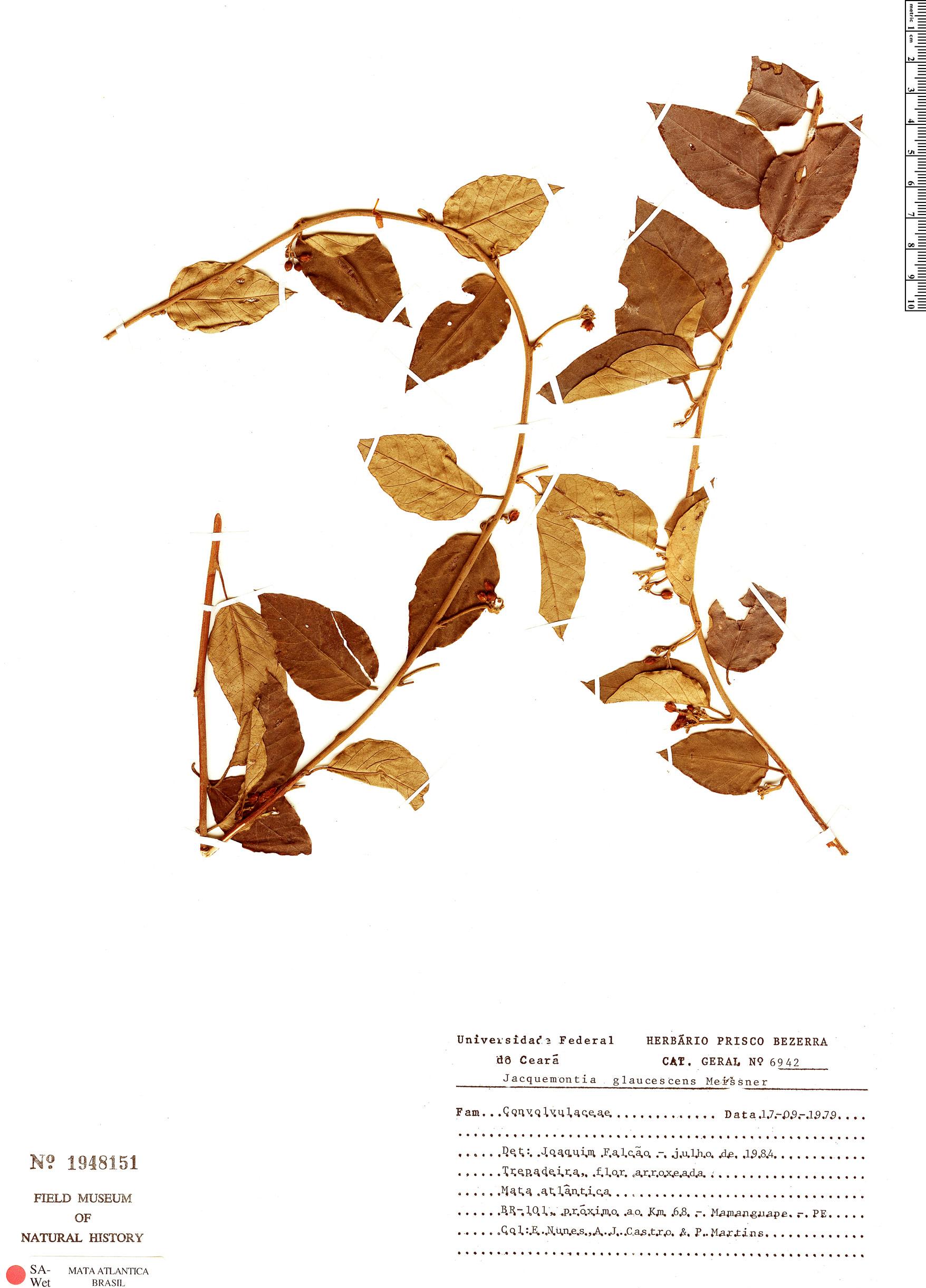 Espécime: Jacquemontia glaucescens