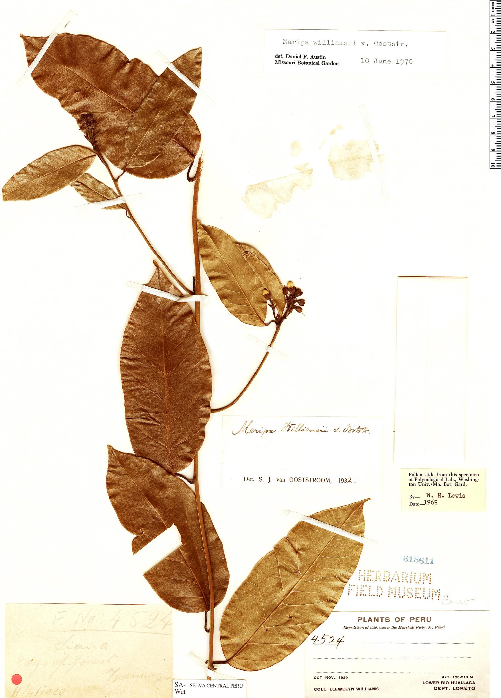 Specimen: Maripa williamsii