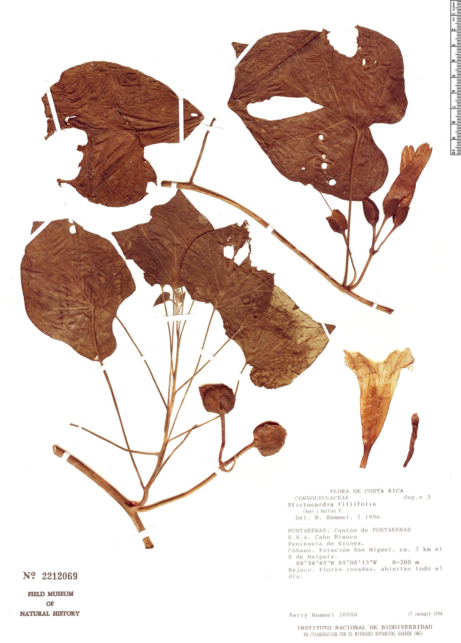 Specimen: Stictocardia tiliifolia