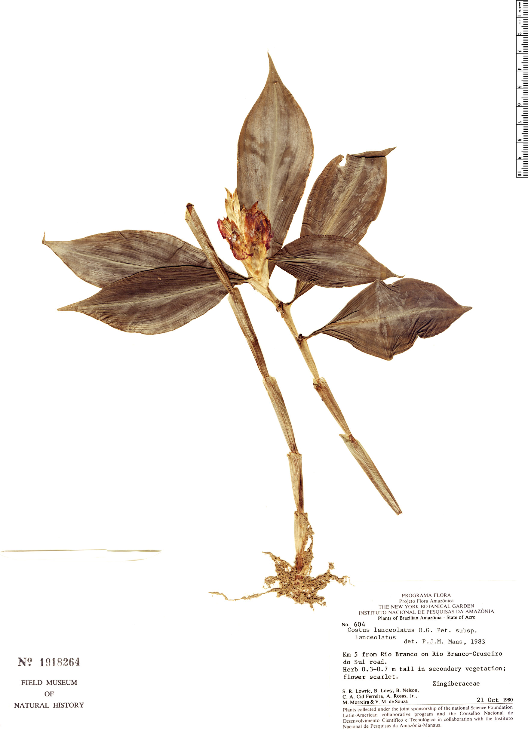 Specimen: Chamaecostus lanceolatus