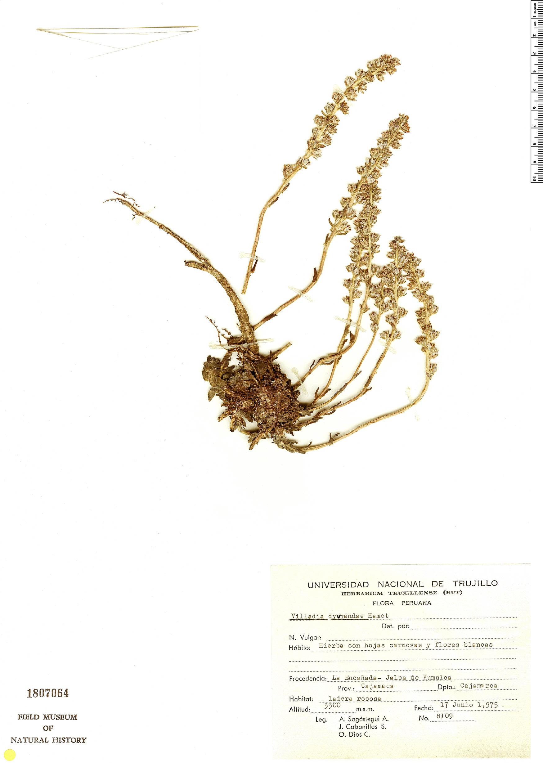 Specimen: Villadia dyvrandae