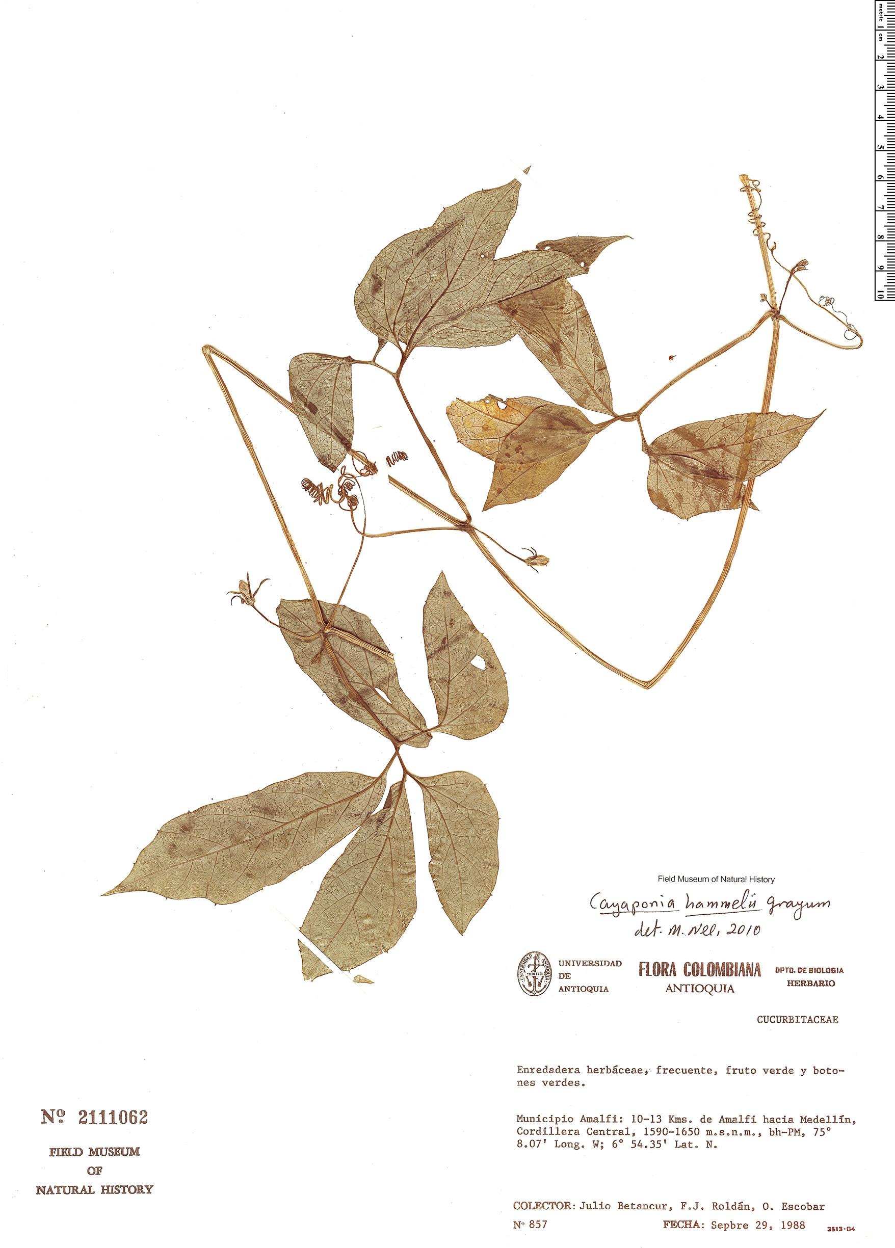 Specimen: Cayaponia hammelii